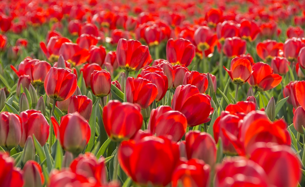 A field of red tulips in the Netherlands