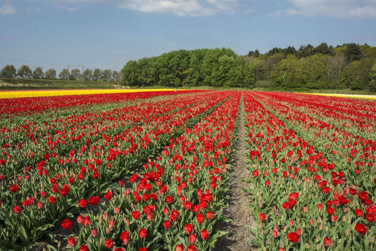 The cheapest way to see tulips in the Netherlands - Tulips in the Netherlands - Lost With Purpose
