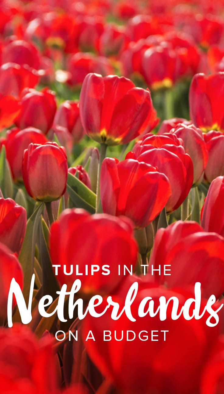 Seeing tulips in the Netherlands is a must, but the standard method of visiting Keukenhof can be expensive for backpackers or tourists on a budget! Click through to learn about the cheapest way to see tulips in the Netherlands, complete with instructions and map.