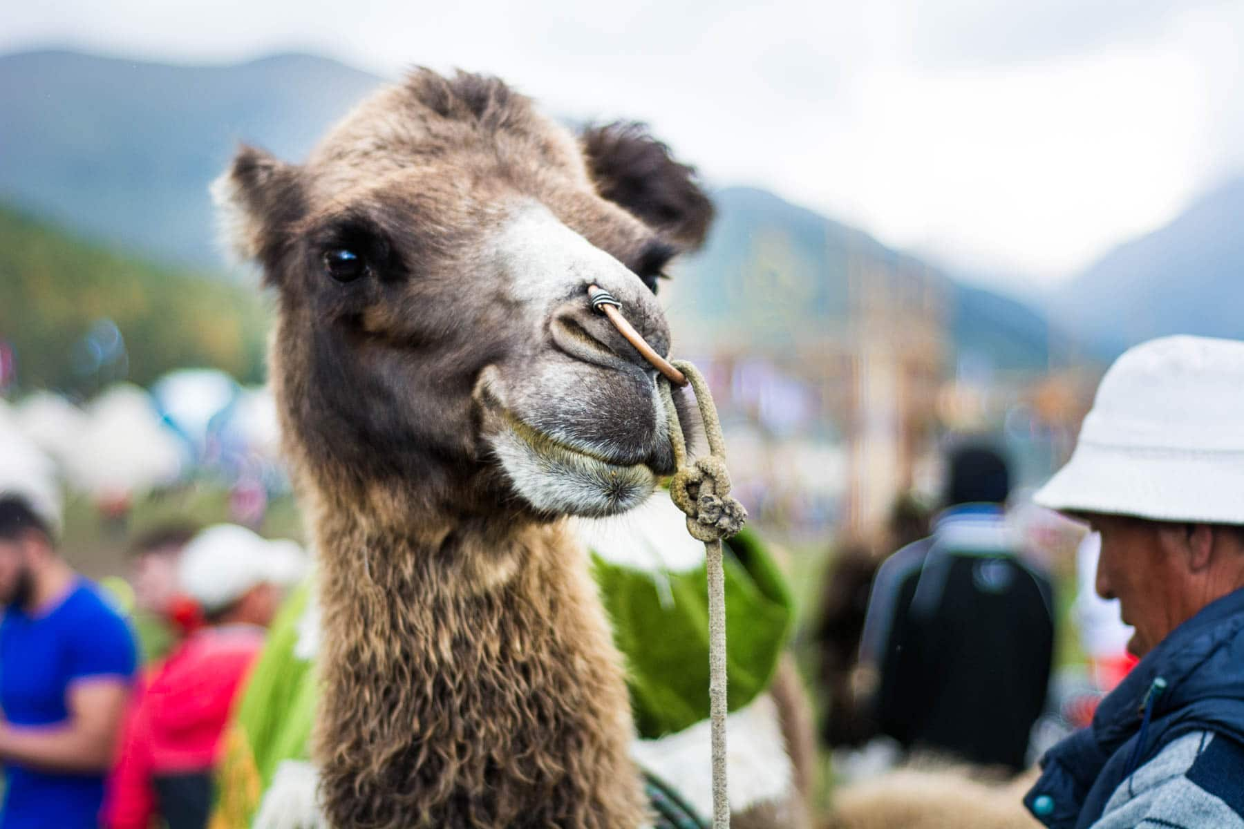 Camel at the World Nomad Games in Kyrgyzstan