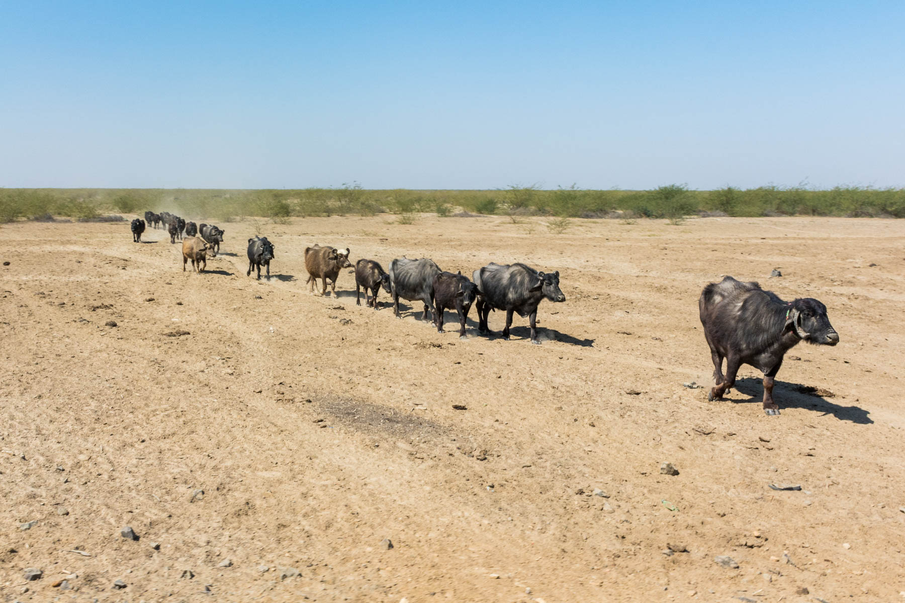 Textiles and crafts of Kutch, Gujarat, India - Buffalo walking through Kutch desert in India - Lost With Purpose