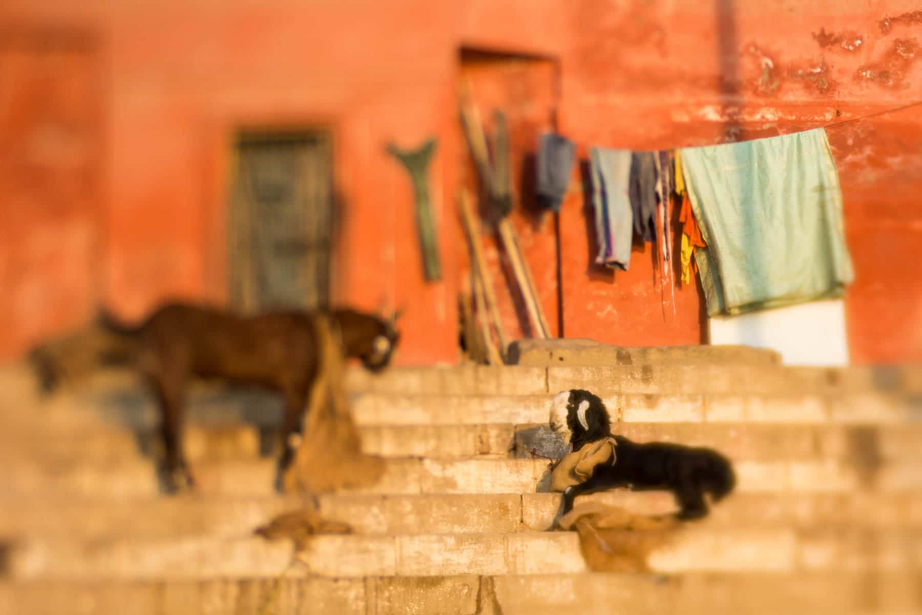 Lensbaby Edge 50 Optic review - Goats on the Ganges in Varanasi, India - Lost With Purpose