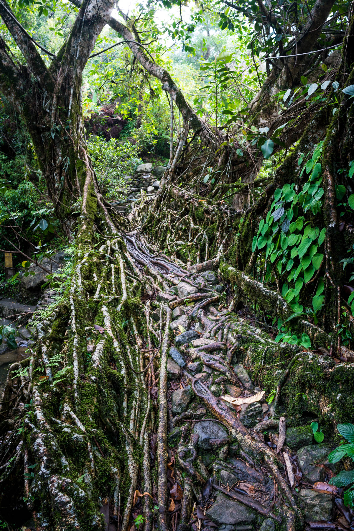 One of two levels of the Umshiang living root bridge near Nongriat village in Meghalaya state, India. The bridge is made from the roots of rubber trees, carefully guided across the expanse with betel nut tree trunks over several decades.