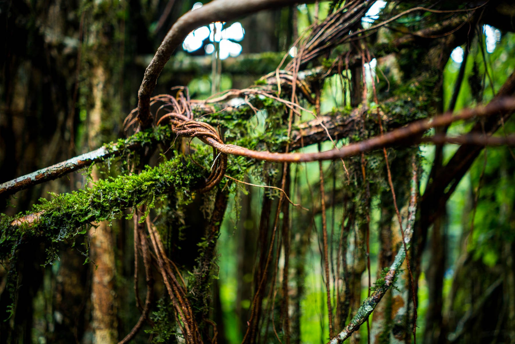 Photo essay of Nongriat and the living root bridges of Meghalaya - Tied rubber tree roots in Nongriat village, Meghalaya, India - Lost With Purpose