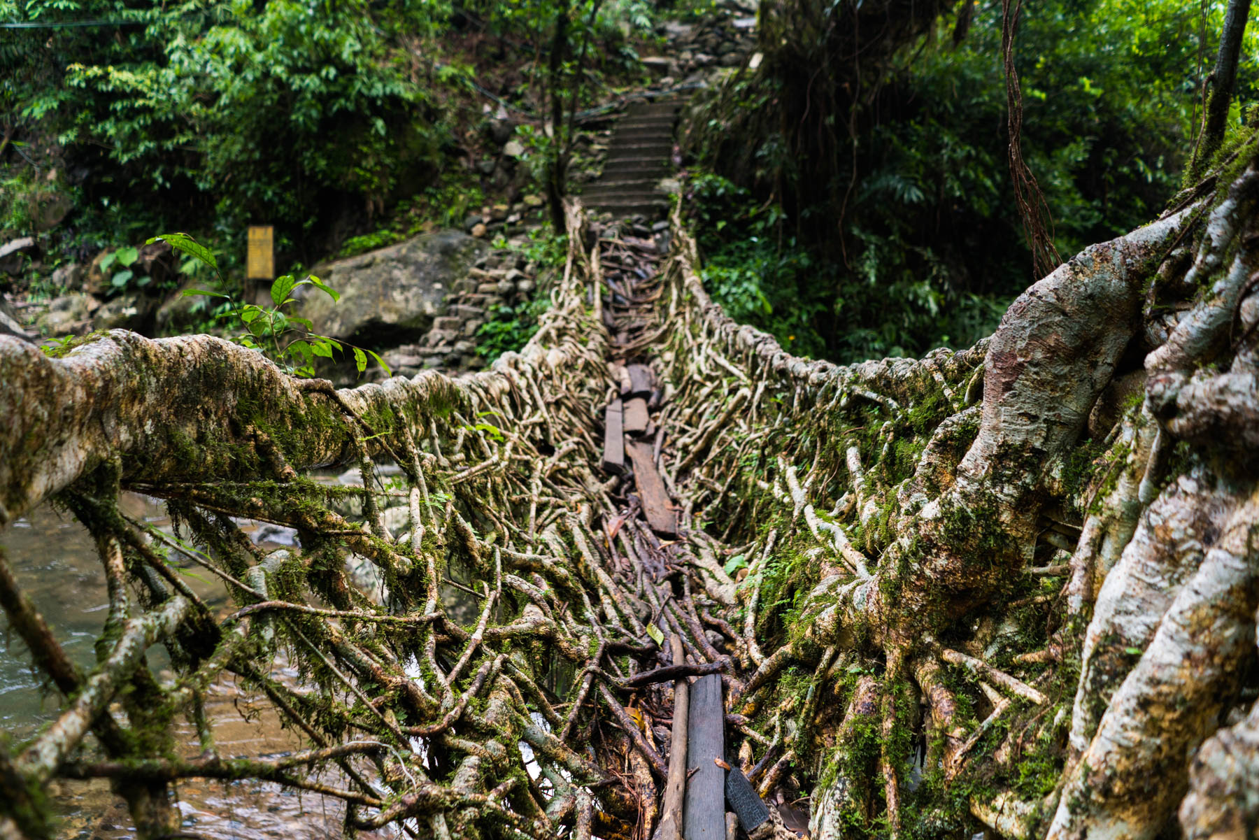 The lower level of Umshiang double-decker living root bridge