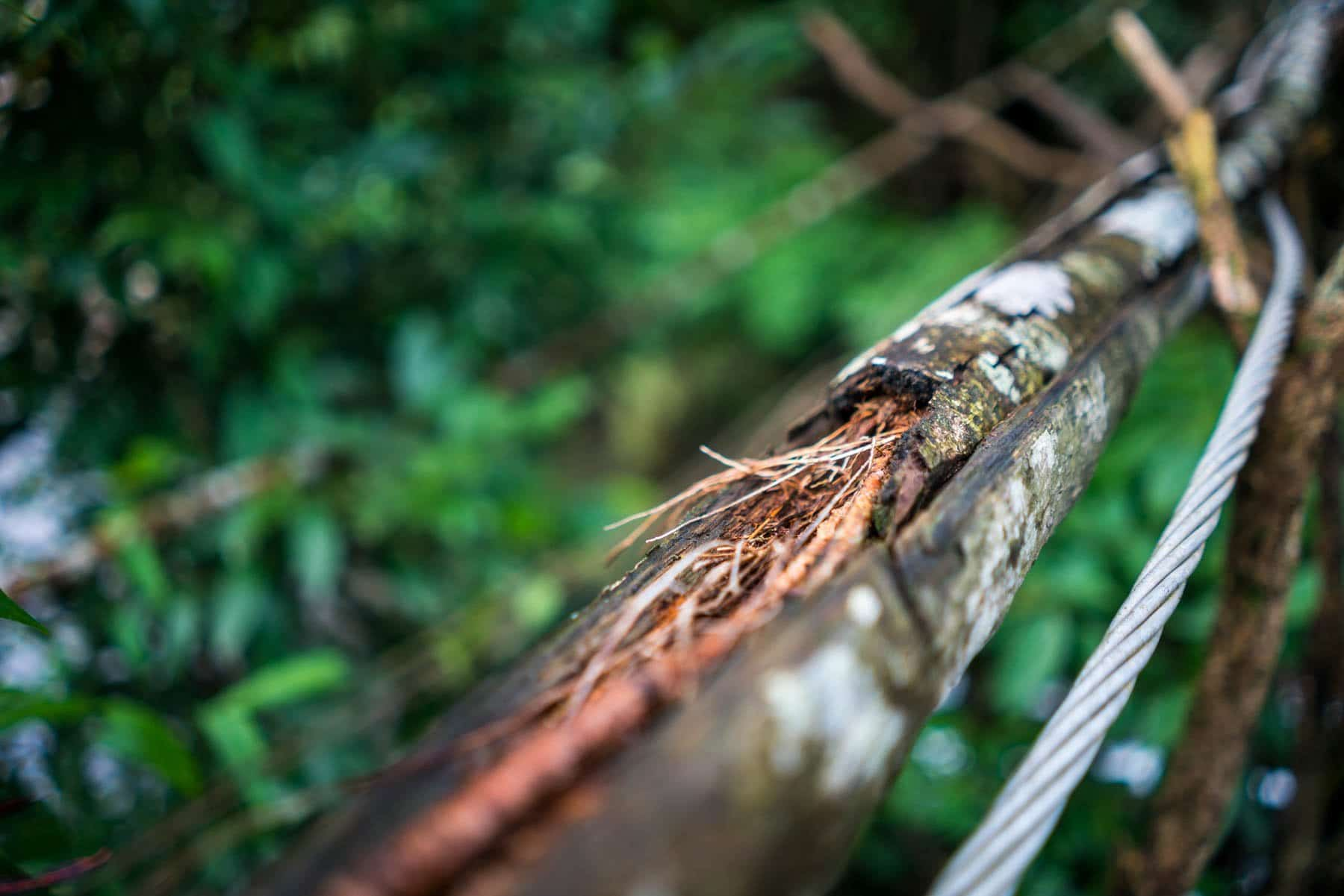 Photo essay of Nongriat and the living root bridges of Meghalaya - Cable guiding tree roots in Nongriat, Meghalaya, India - Lost With Purpose