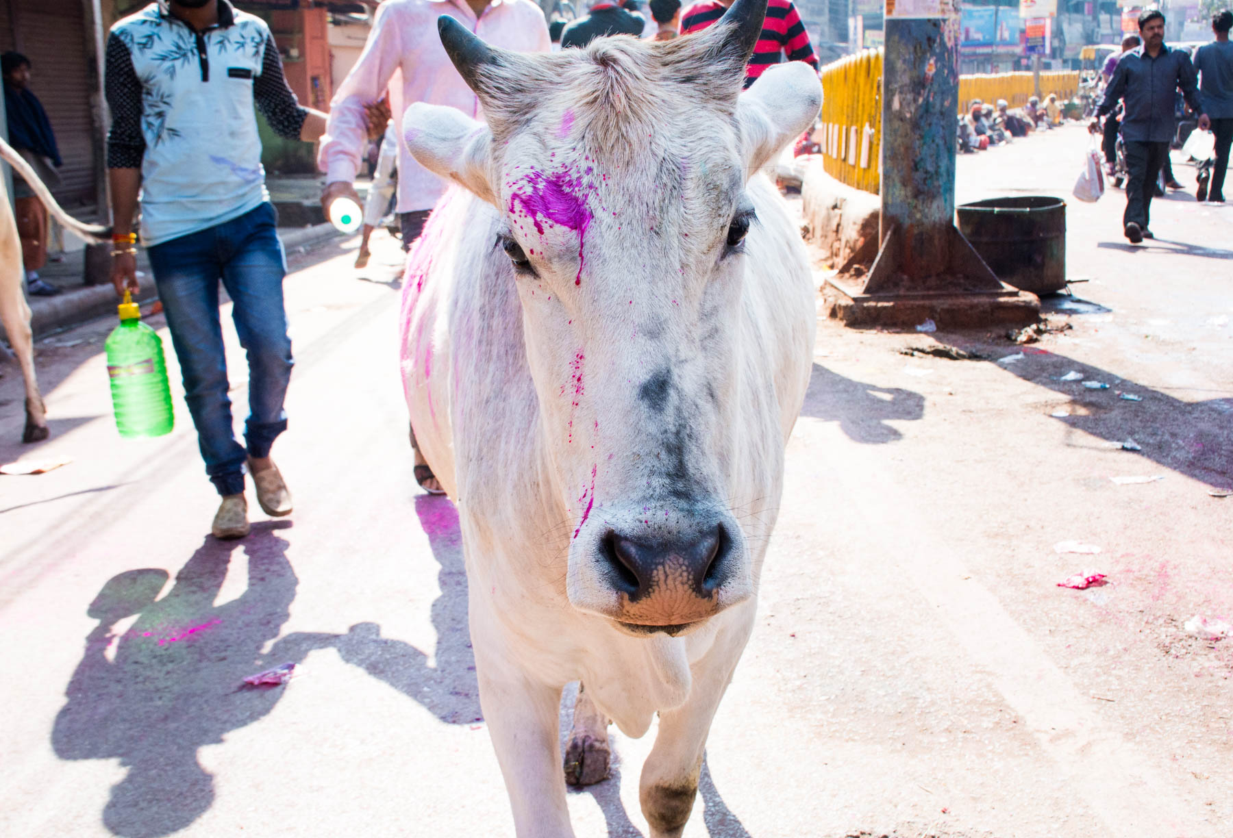 What you need know about playing Holi in Varanasi, India - A cow with Holi colors on it - Lost With Purpose