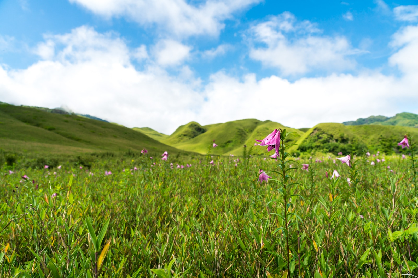 Pink summer flowers beginning to bloom in Dzukou Valley