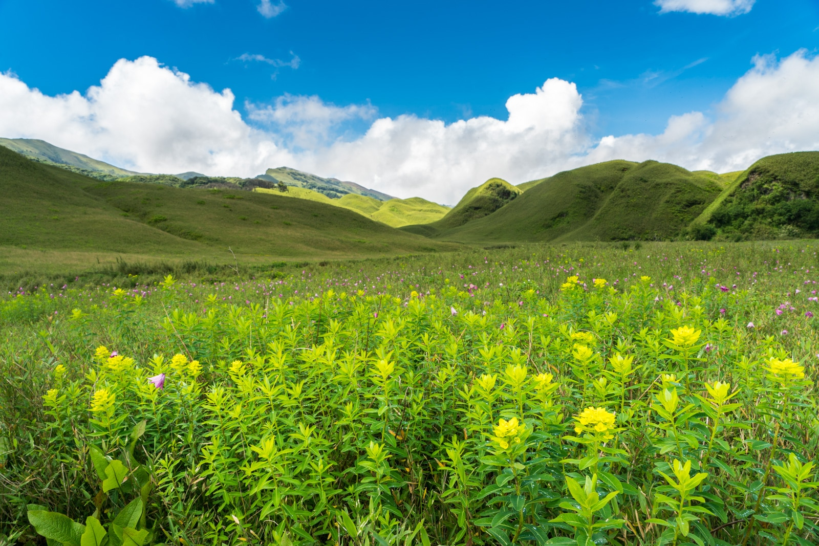 Yellow flowers blooming in Dzukou Valley