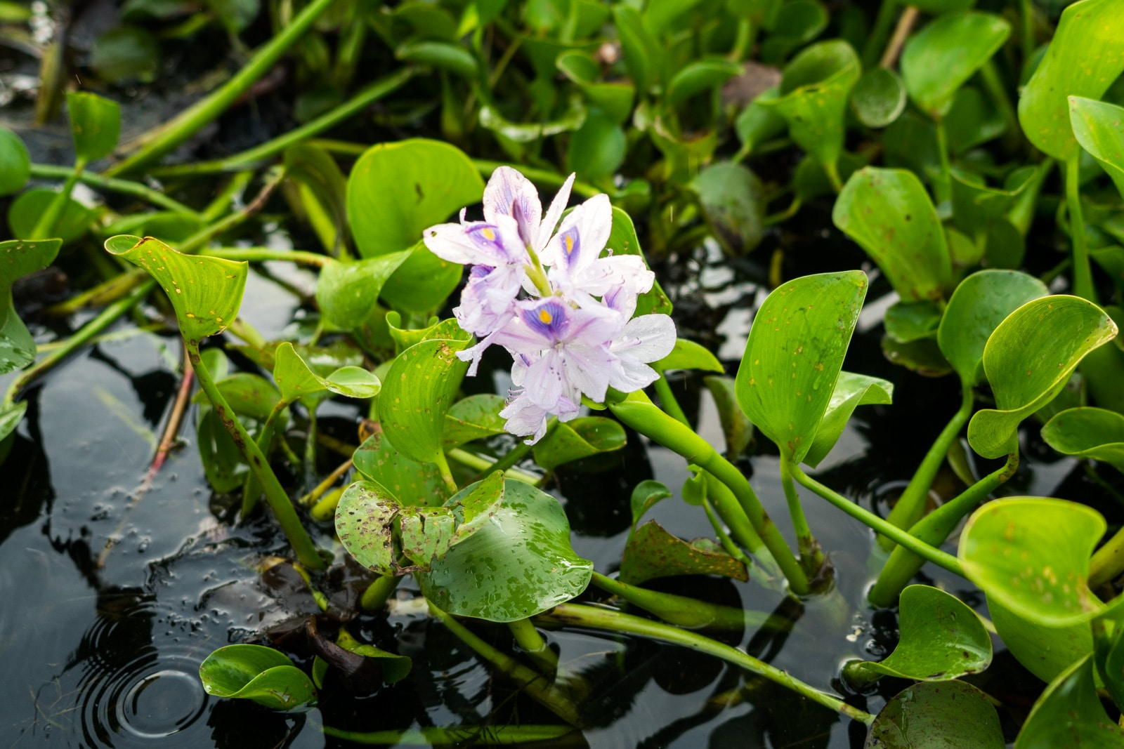 Why you need to visit Loktak Lake, Manipur, Northeast India - Purple flower in a phumdis - Lost With Purpose