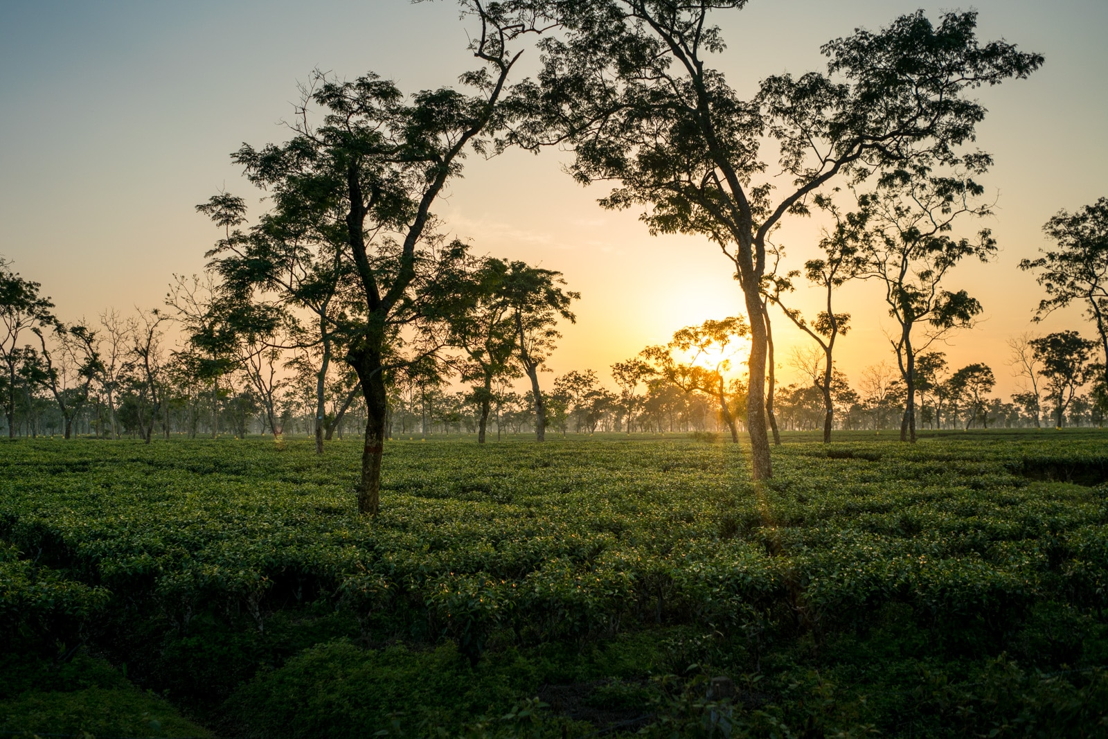 Why you need to travel in Northeast India - Sunset over tea fields in Assam, India - Lost With Purpose travel blog