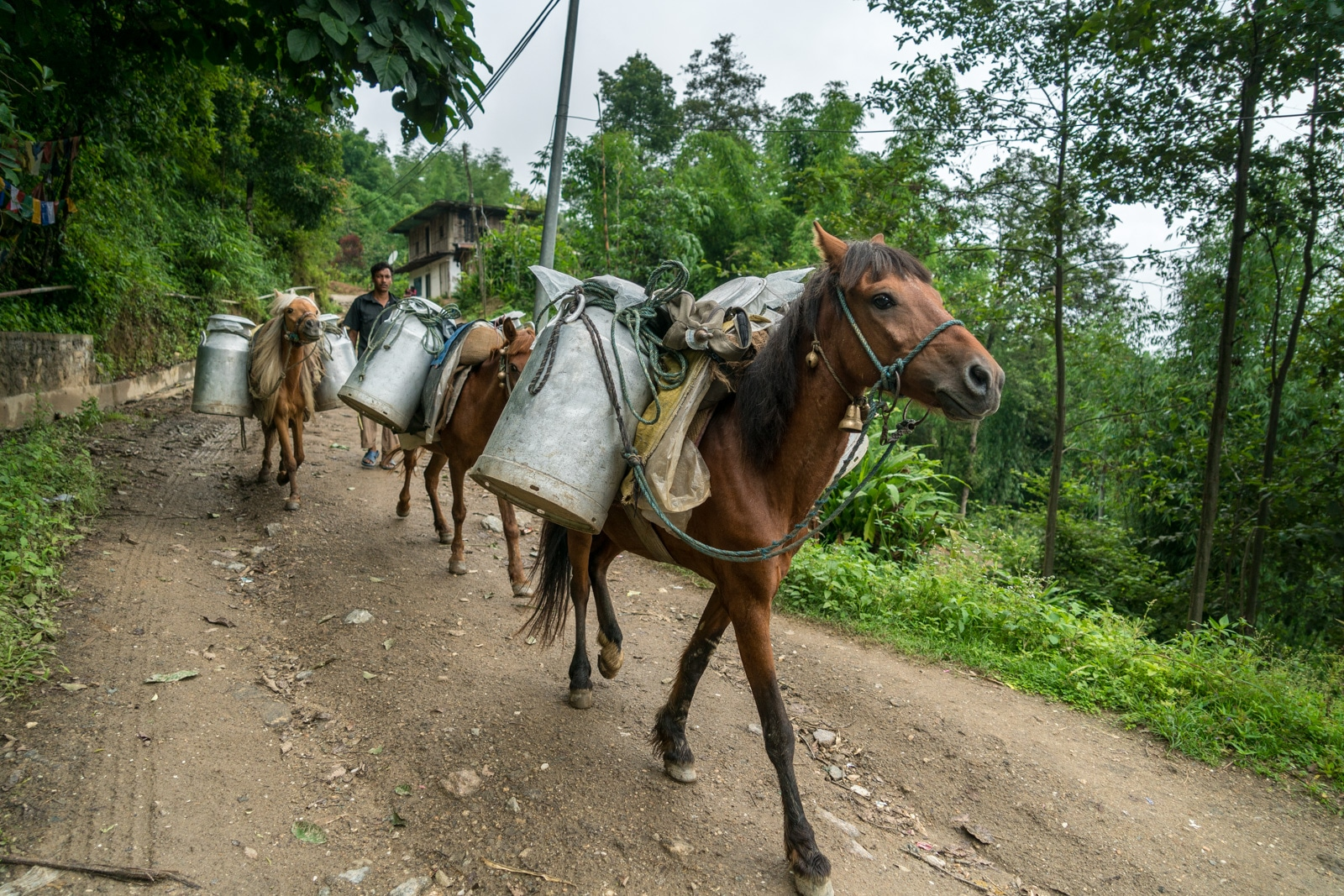 What it's like to travel during monsoon in Nepal - Pack horses on the way to Mai Pokhari lake near Ilam - Lost With Purpose travel blog