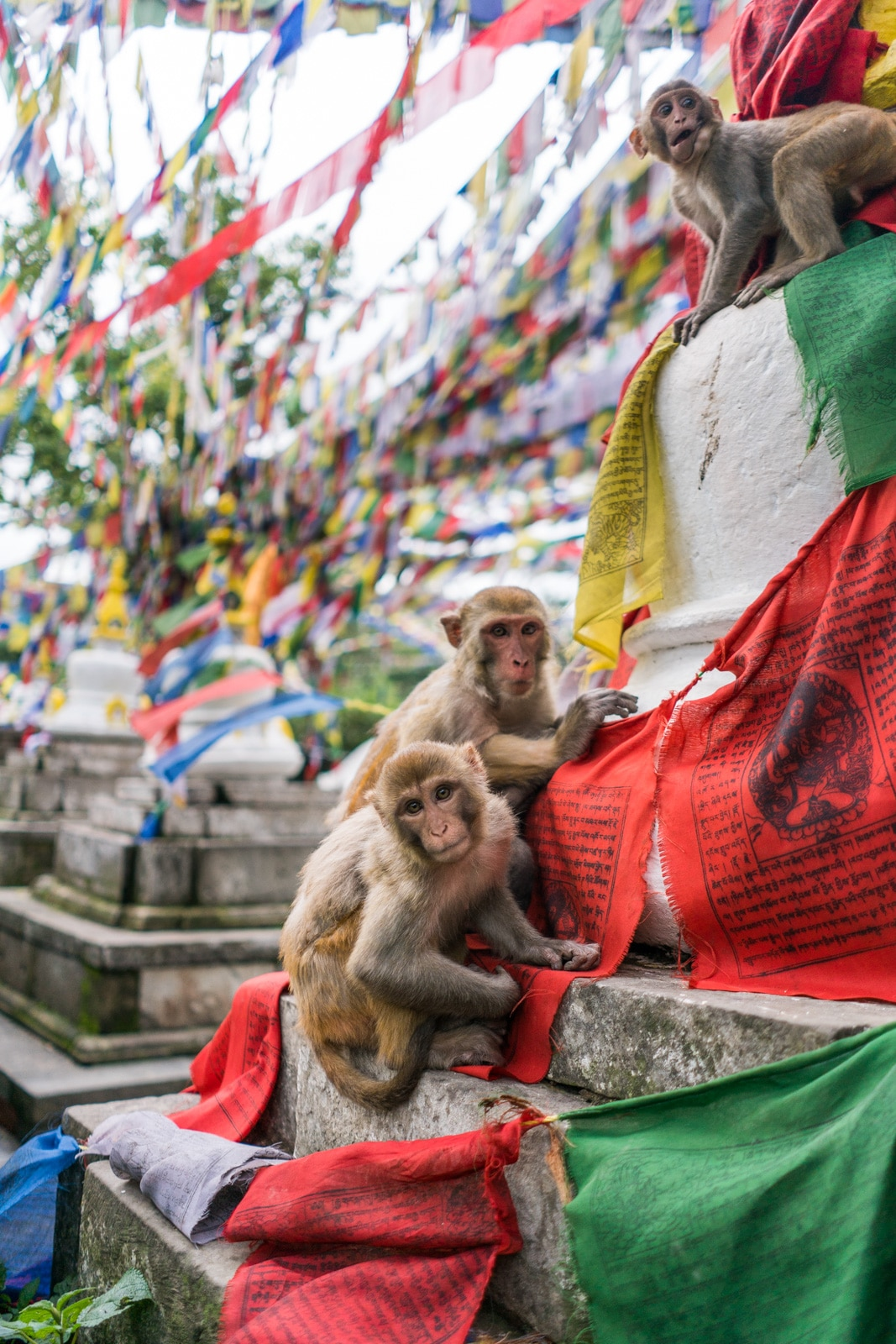 Two rhesus monkeys hanging out on prayer flags at the Buddhist Swayambhunath Stupa in Kathmandu, Nepal, more commonly known as the Monkey Temple. A must-see in Kathmandu for travelers!