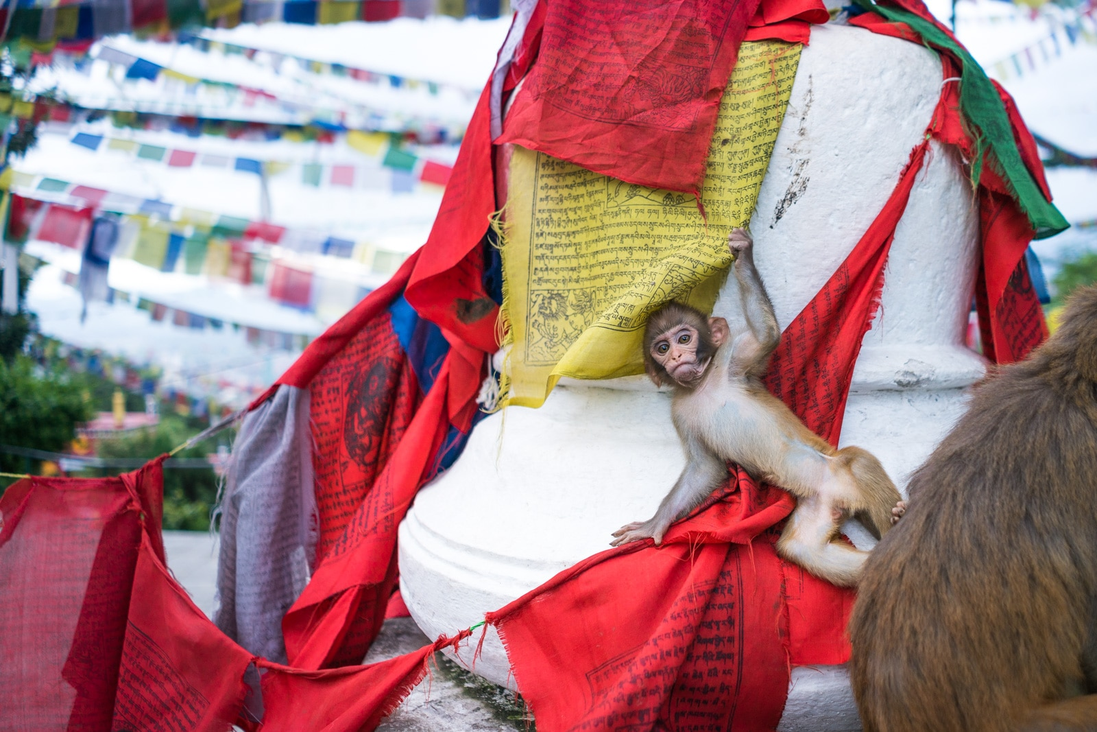 Things to do while traveling during monsoon in Nepal - A baby monkey on the prayer flags at Swayambhunath stupa, AKA Monkey Temple in Kathmandu - Lost With Purpose travel blog