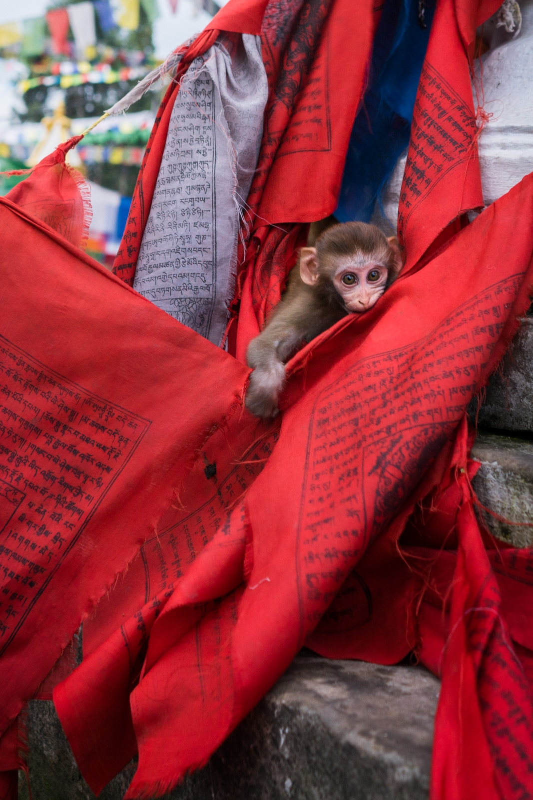 A baby rhesus monkey hanging out on Buddhist prayer flags at the Monkey Temple in Kathmandu, Nepal. A must-visit place for anyone traveling in Nepal during monsoon.