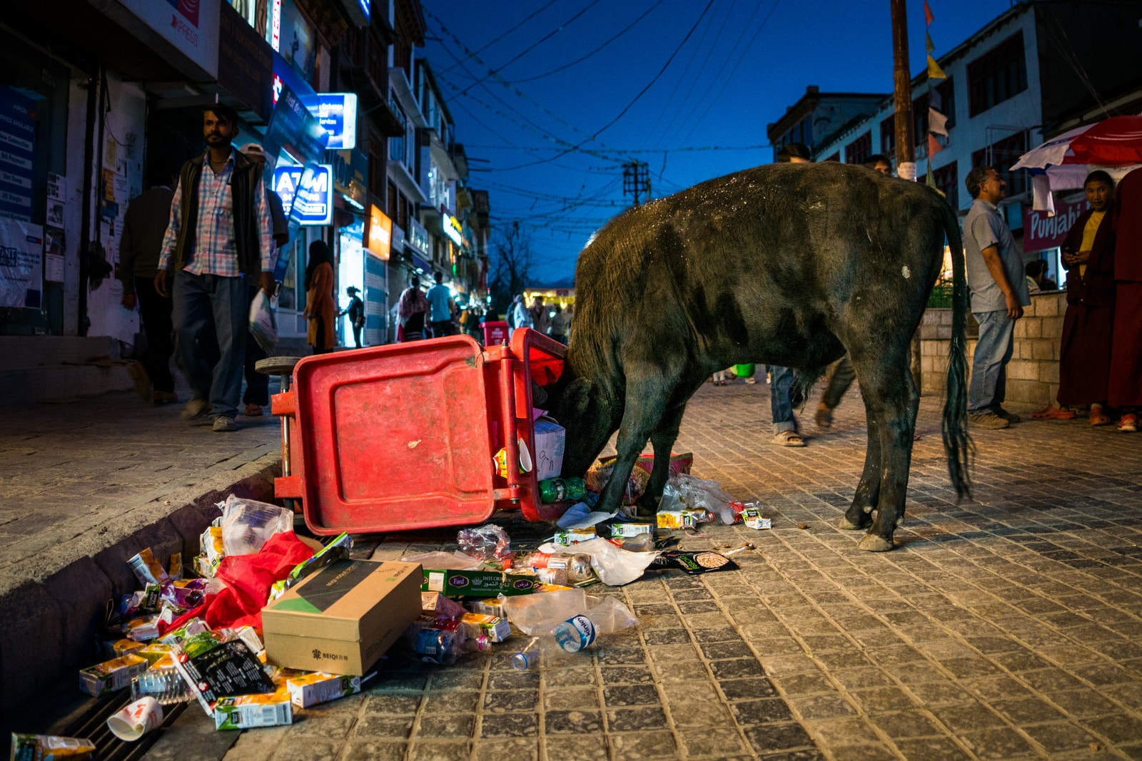 Why we fell in love with India - A cow eating trash in Leh Ladakh, India - Lost With Purpose travel blog