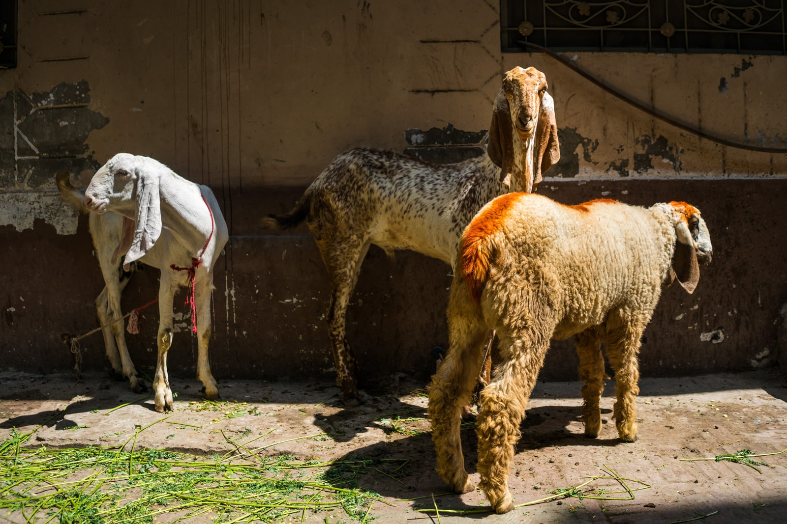 Celebrating Eid al-Adha in Lahore, Pakistan - Goats and sheep on the streets - Lost With Purpose travel blog