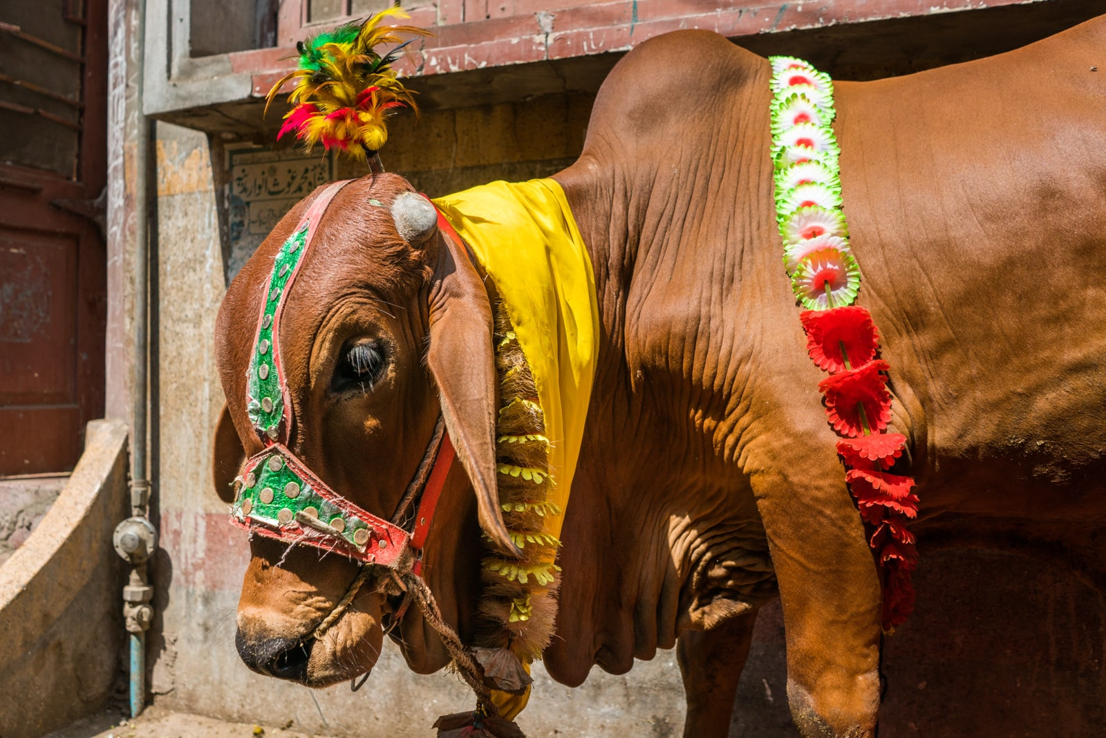 Celebrating Eid al-Adha in Lahore, Pakistan - A cow in colorful decorations tied to the wall - Lost With Purpose travel blog