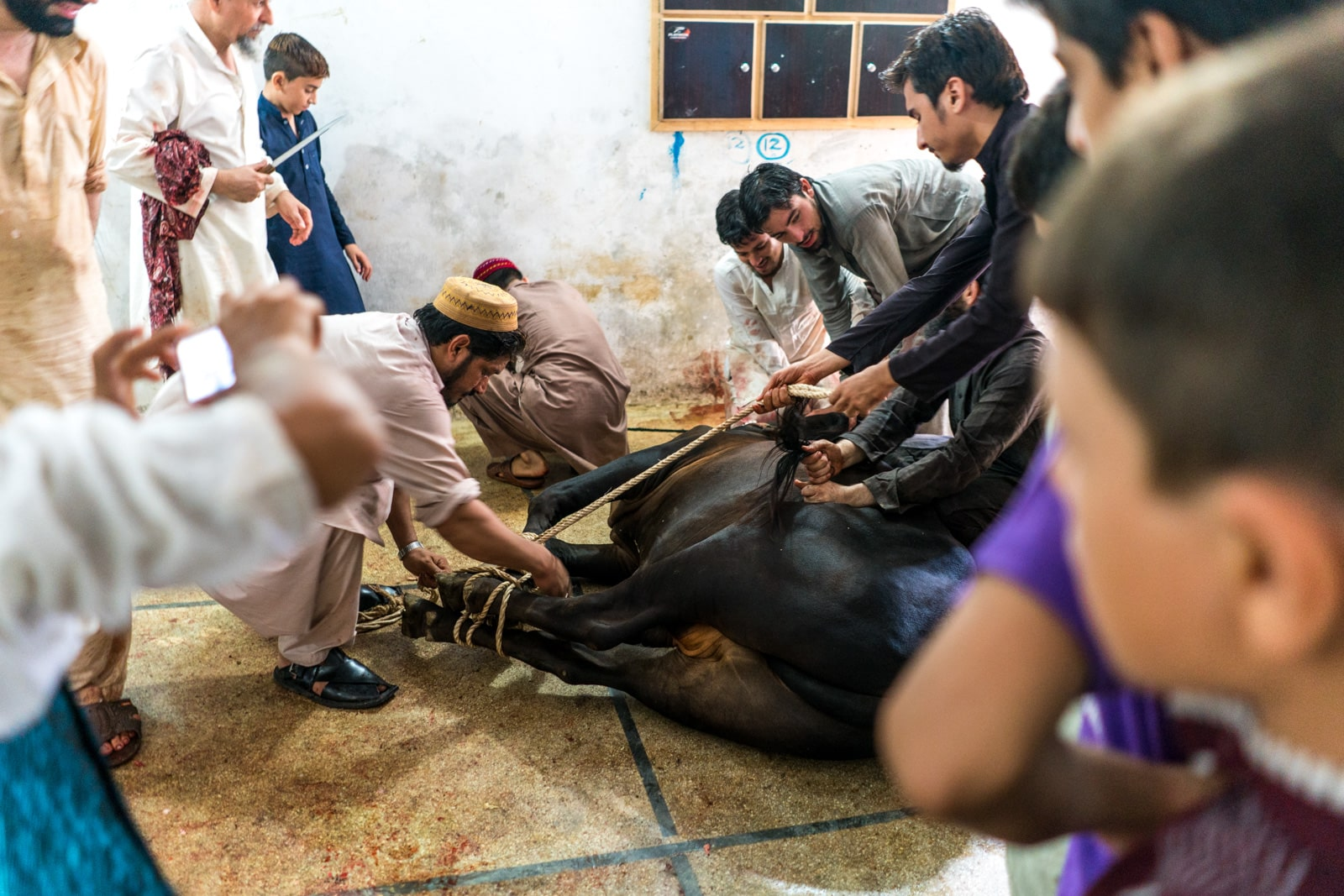 Celebrating Eid al-Adha in Lahore, Pakistan - Men tying up a cow's legs with rope - Lost With Purpose travel blog