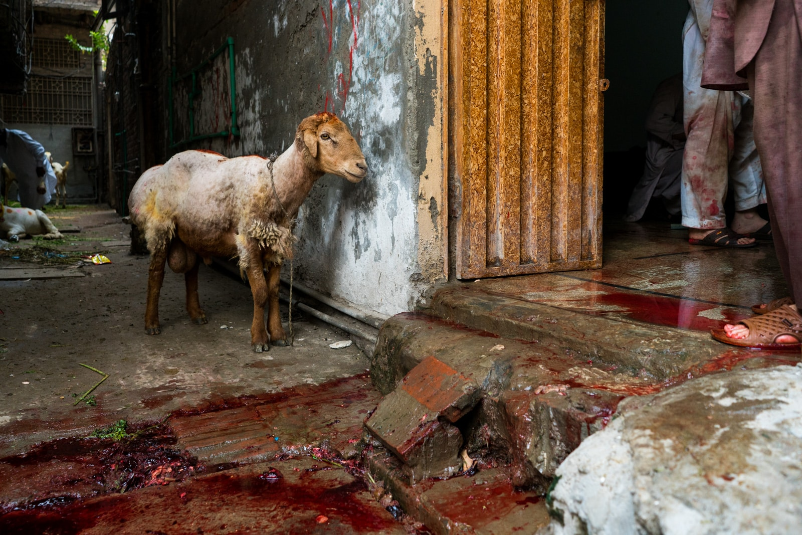 Celebrating Eid al-Adha in Lahore, Pakistan - A sheep standing before a blood puddle - Lost With Purpose
