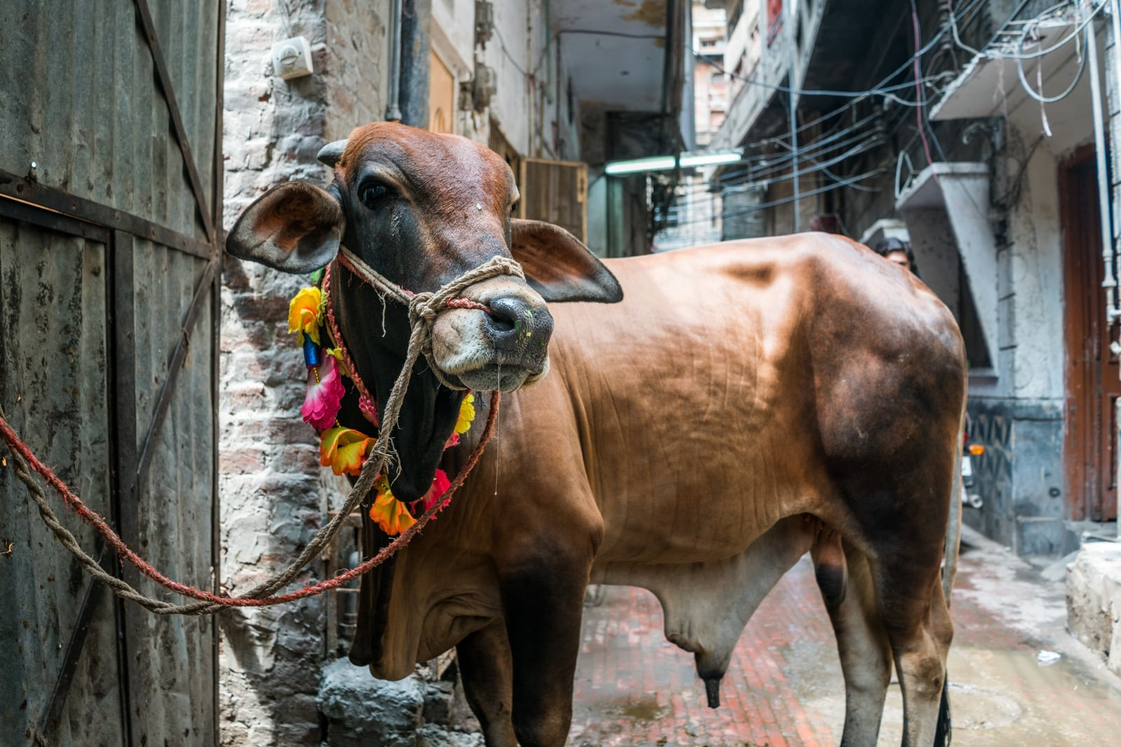 Celebrating Eid al-Adha in Lahore, Pakistan - A cow tied up on the streets - Lost With Purpose travel blog