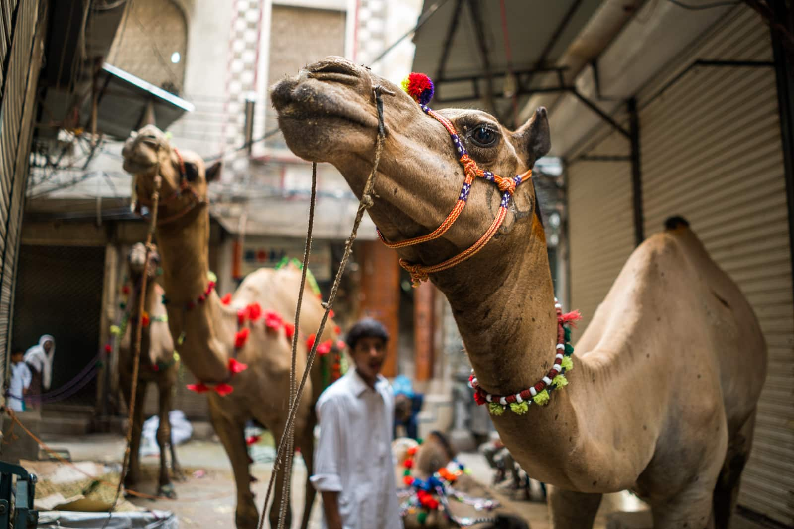 Celebrating Eid al-Adha in Lahore, Pakistan - Several camels tied up on the street - Lost With Purpose travel blog