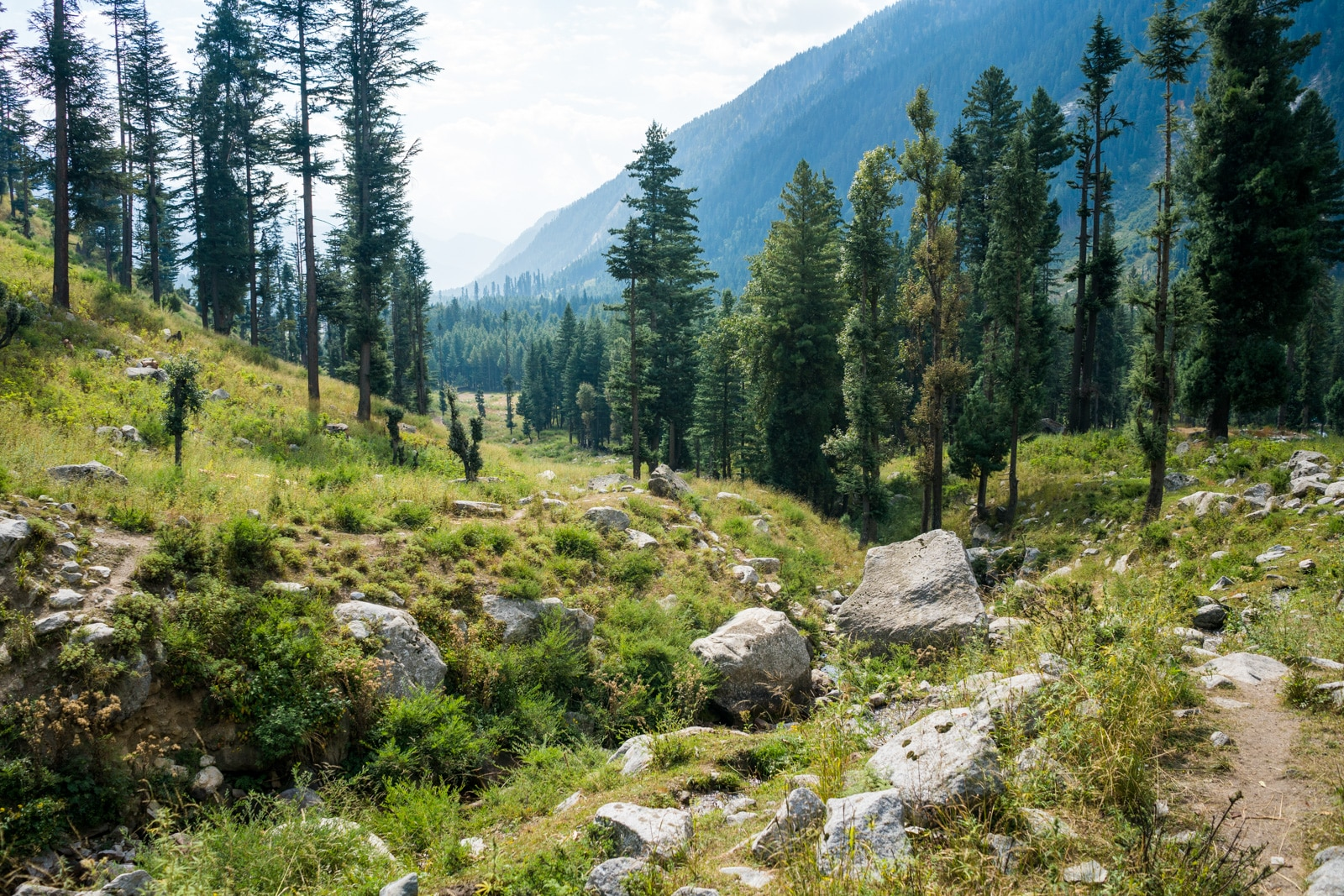 Deodar trees in Kumrat Valley in Pakistan