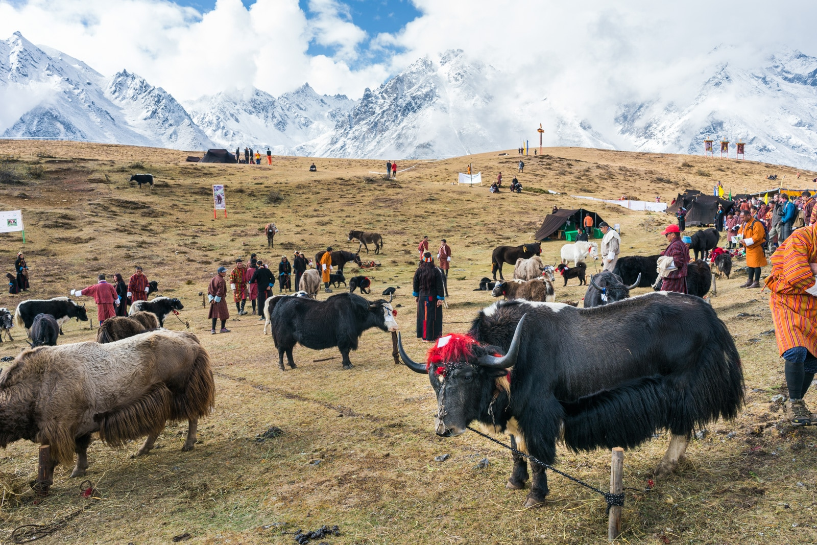 Photos of the Royal Highlander Festival in Bhutan - Yaks and other livestock on display at the festival - Lost With Purpose travel blog