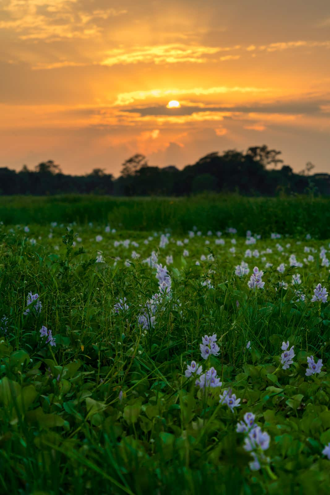 Sunset over a field of water flowers on Majuli river island in Northeast India.
