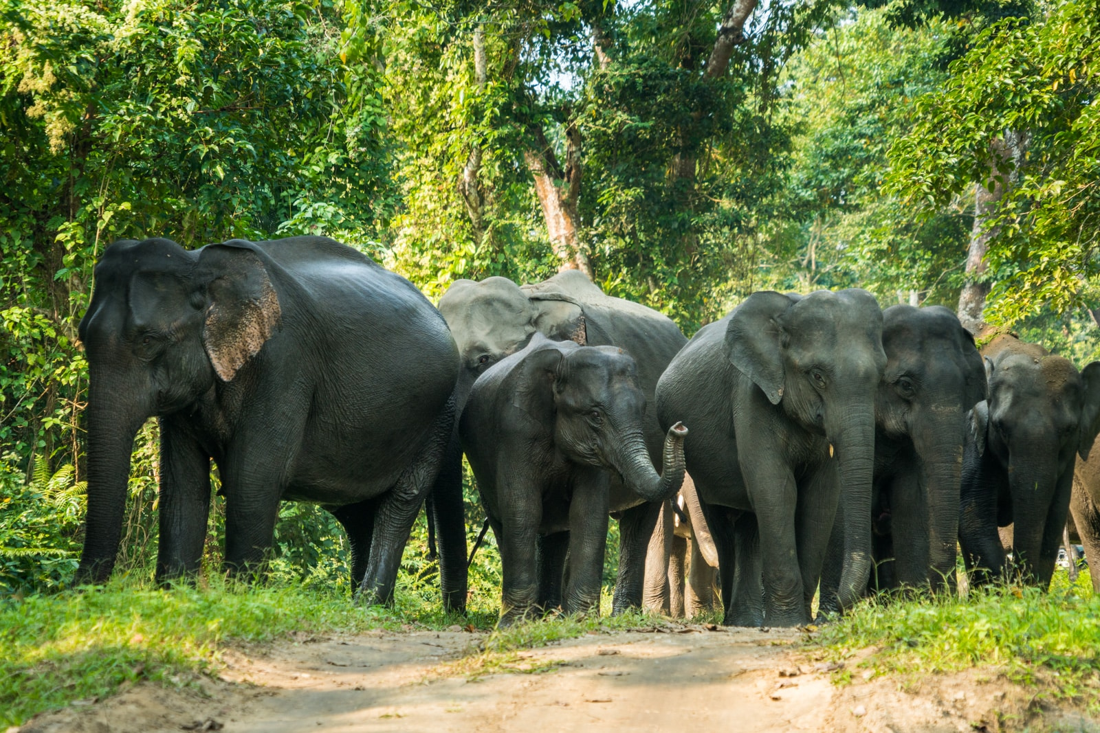 River cruising with Assam Bengal Navigation in India - Herd of wild elephants crossing the road in Kaziranga National Park - Lost With Purpose travel blog