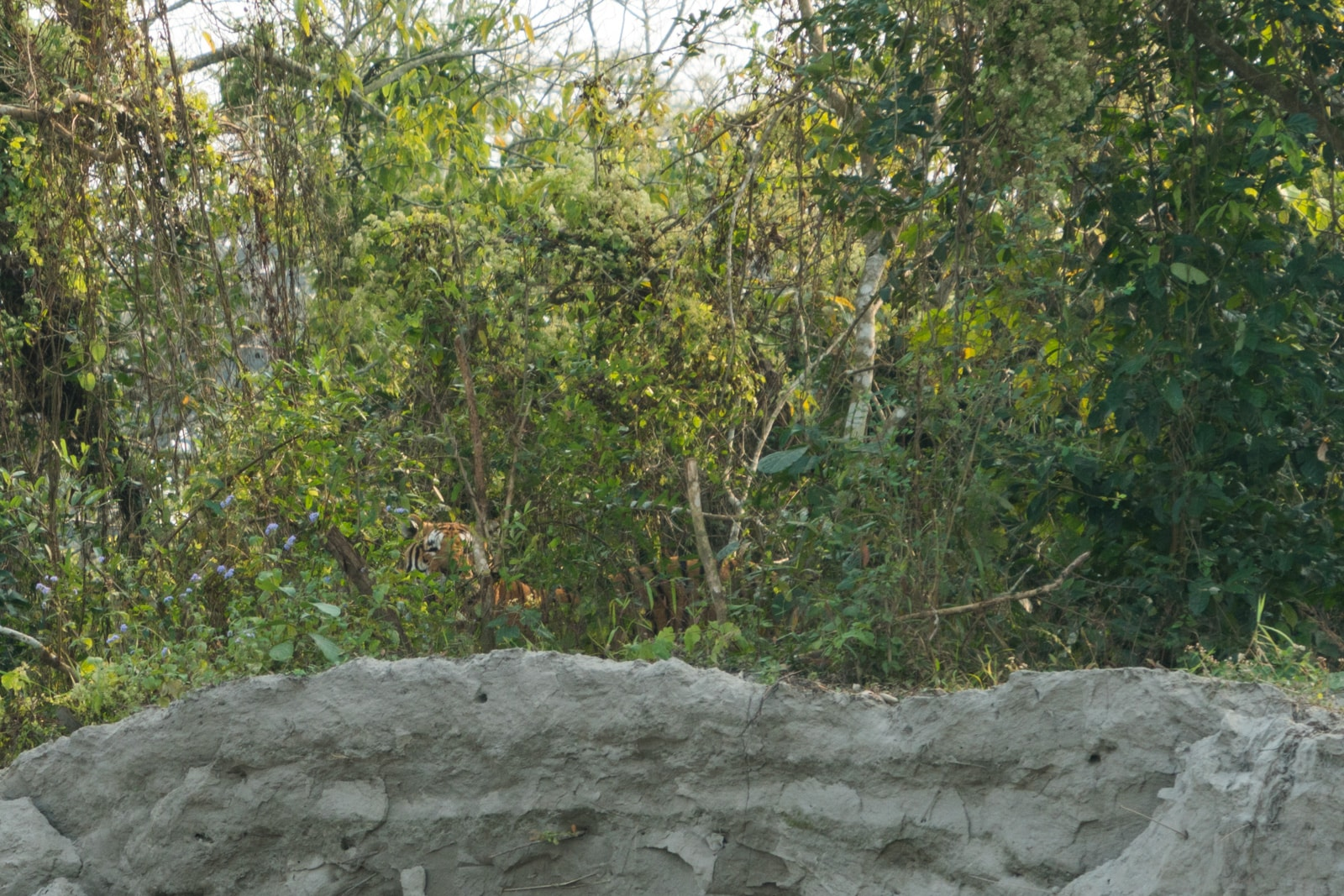 Review of Assam Bengal Navigation - Bengal tiger in Kaziranga National Park - Lost With Purpose travel blog