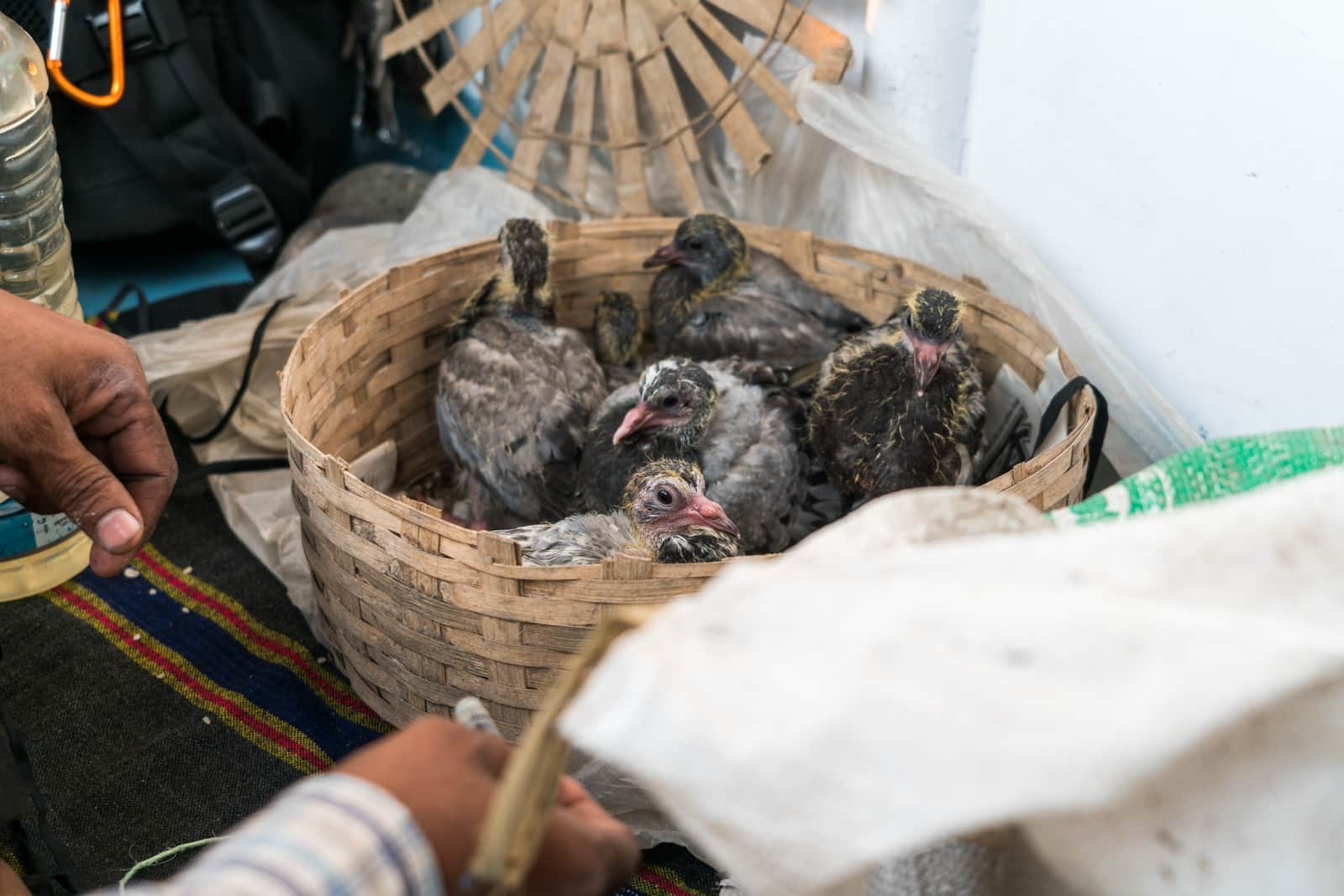 Launches from Hularhat to Dhaka, Bangladesh - Baby pigeons being fed on the boat - Lost With Purpose travel blog