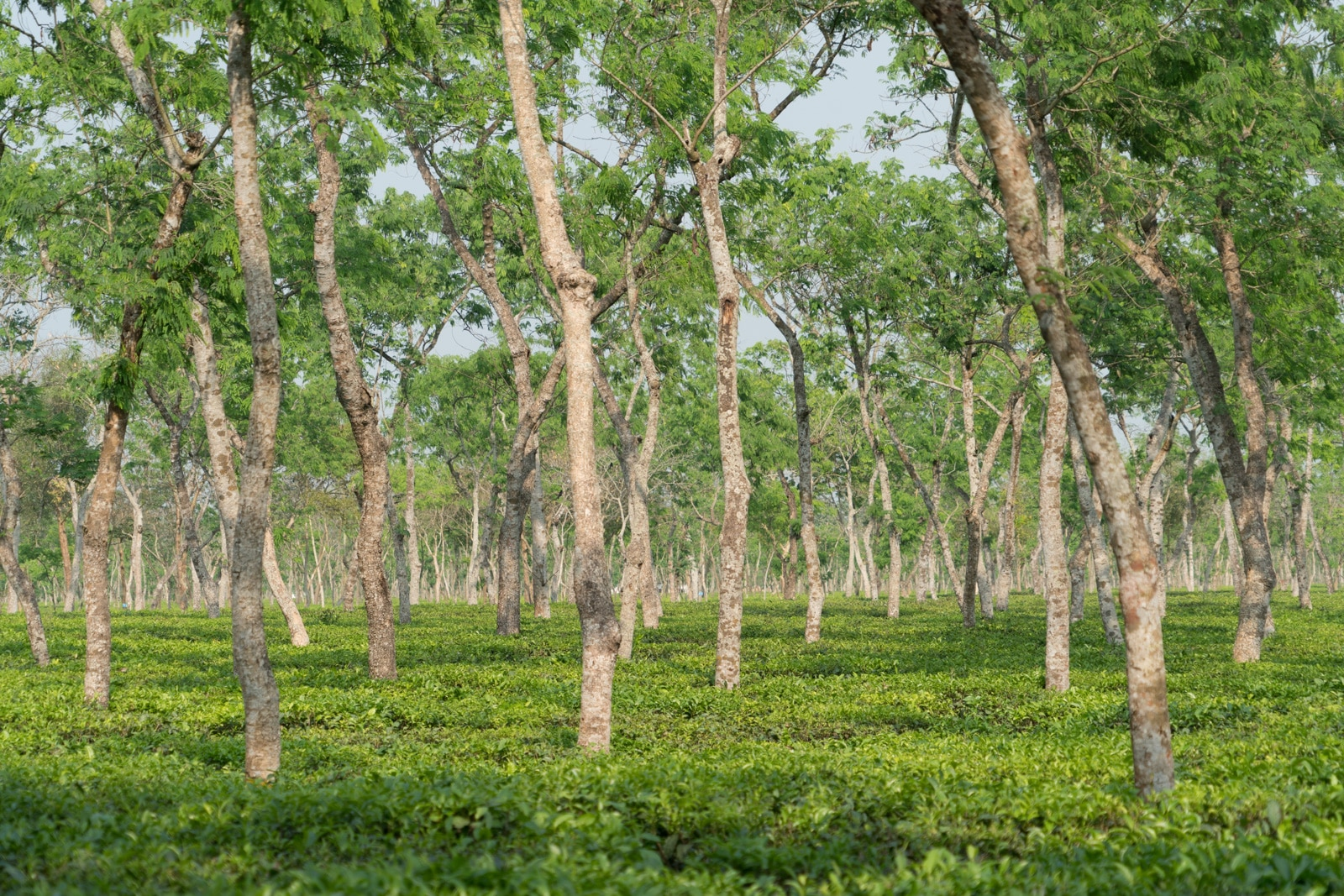 Backpacking in Bangladesh travel guide - Tea plantation in Bangladesh - Lost With Purpose travel blog