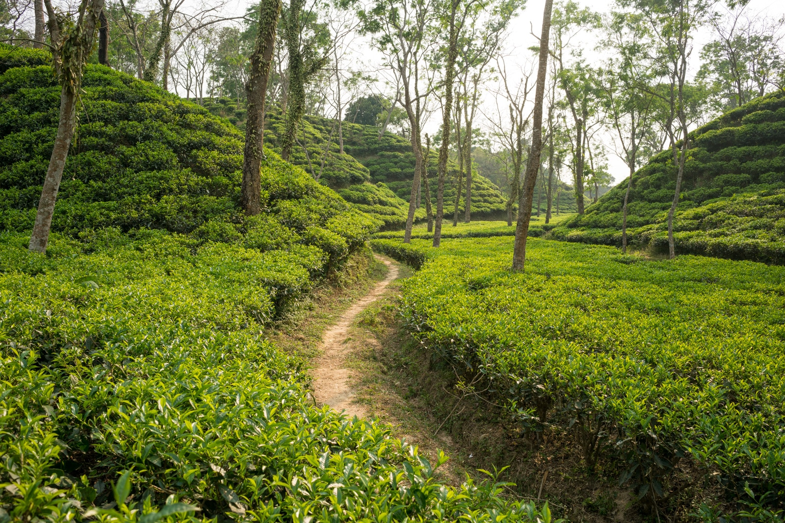 Backpacking in Bangladesh travel guide - Tea hills in Srimangal - Lost With Purpose travel blog