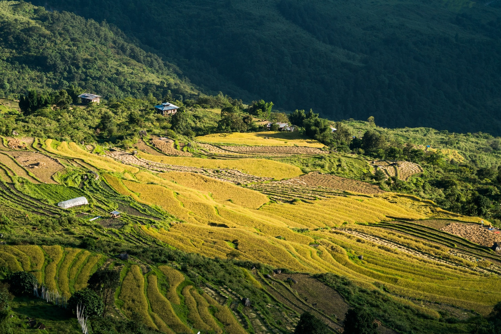 Stunning photos of Bhutan - Golden fields of rice in Kuengarabten village - Lost With Purpose travel blog