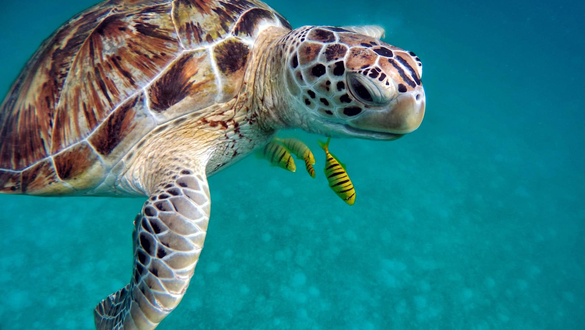 Traveling Maldives on a budget - Turtle in the ocean