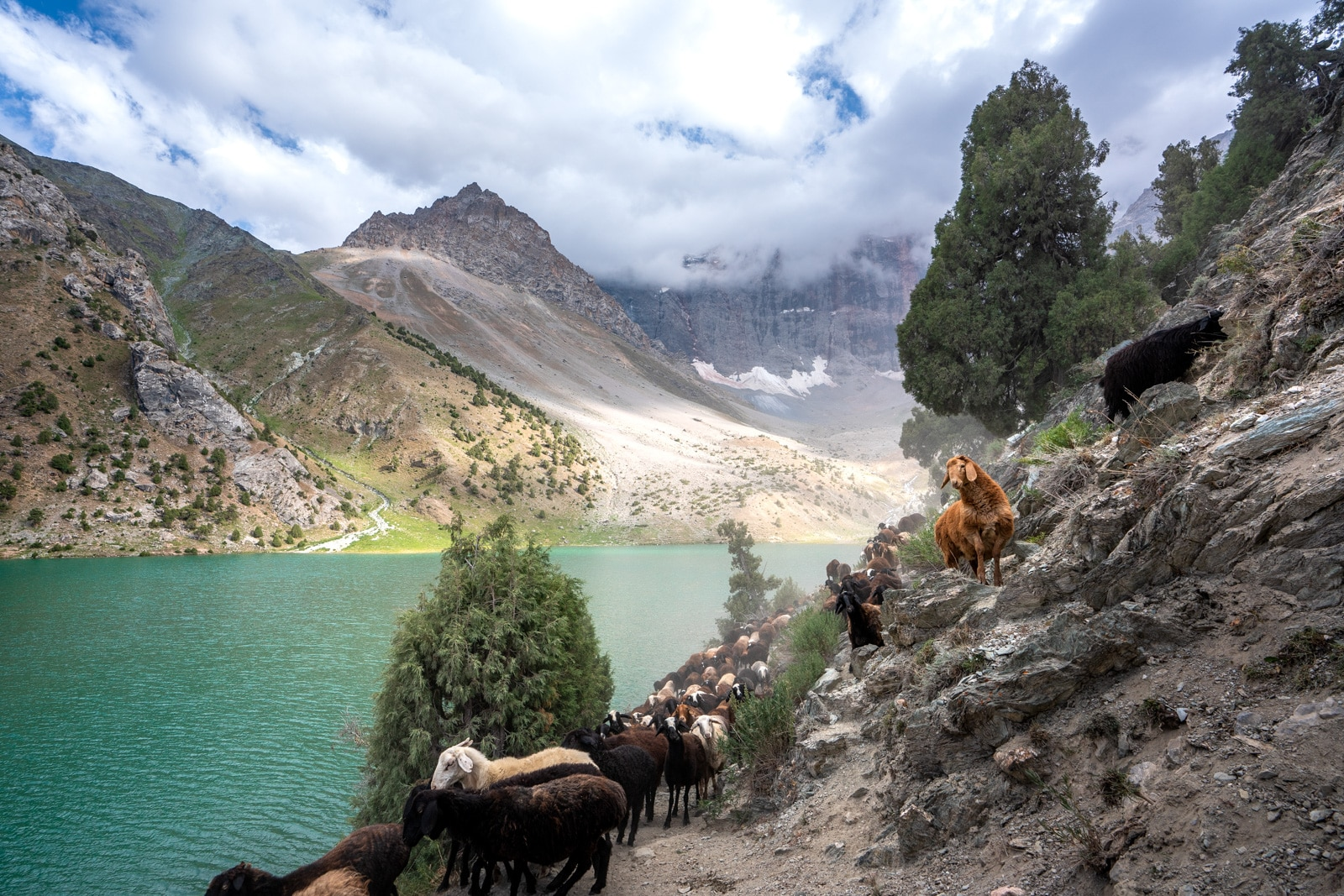 Sheep and goats walking in the Fann Mountains in Tajikistan