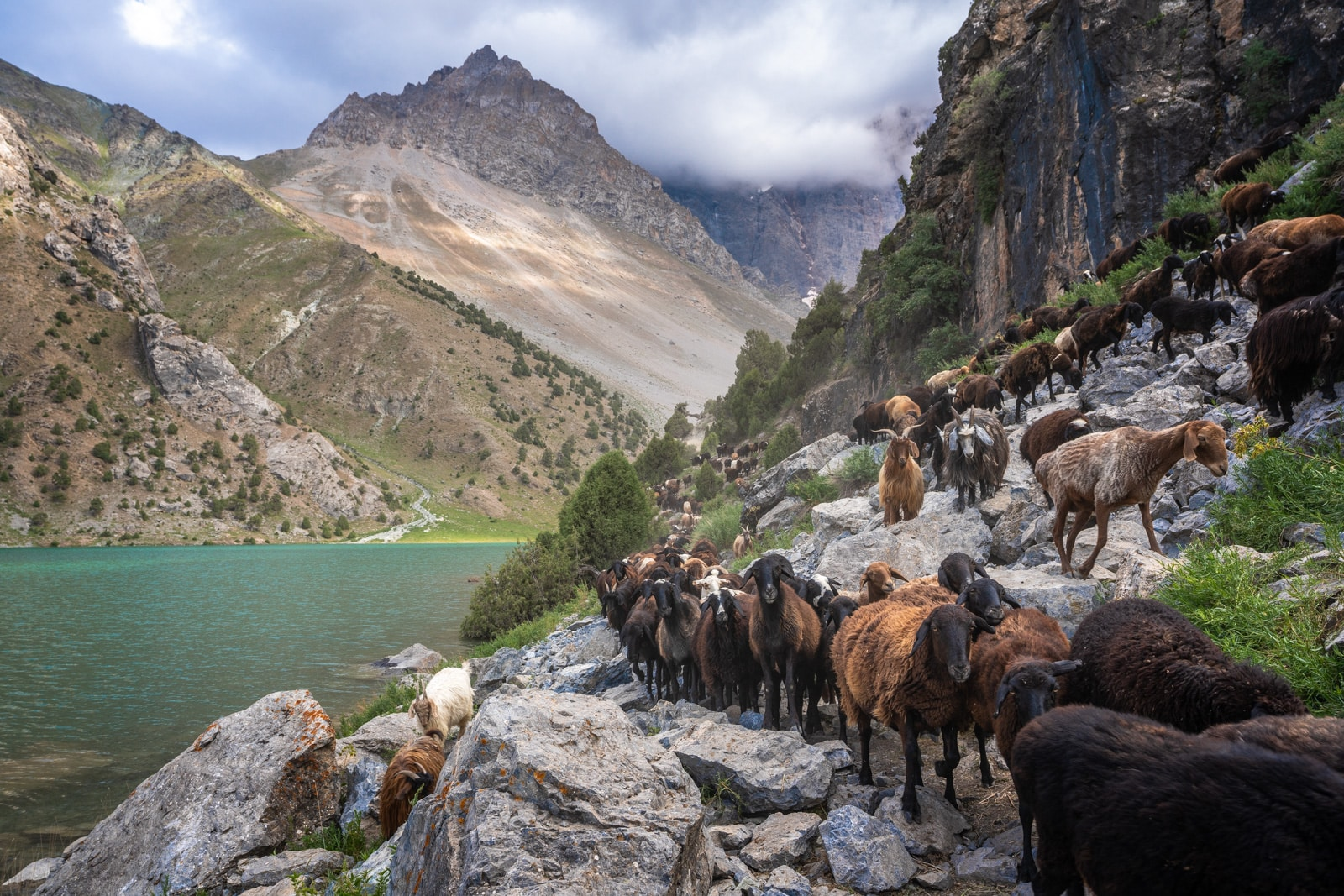Herd of sheep and goats walking in Tajikistan's Fann Mountains