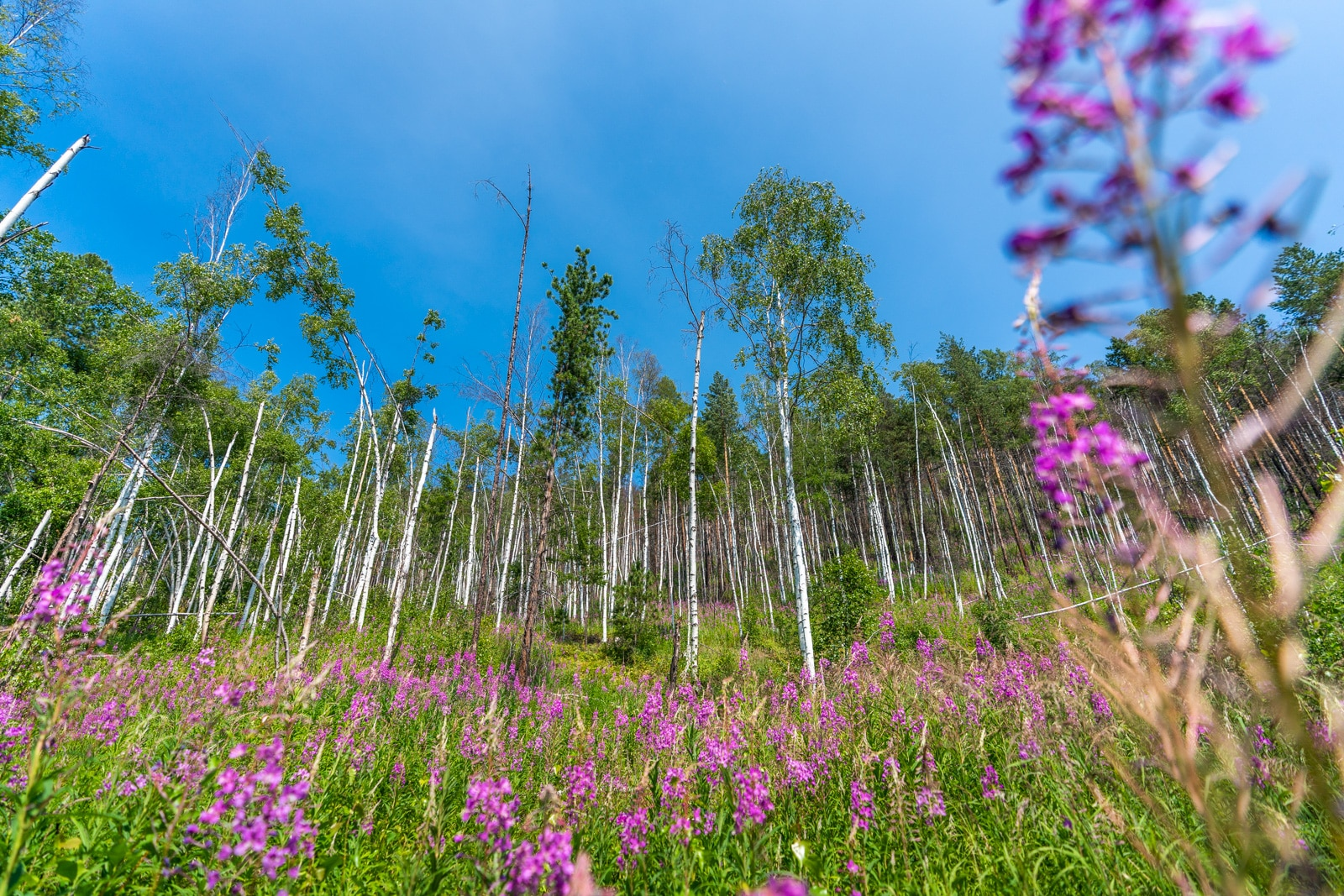 Wildflowers in a birch forest in Siberia, Russia