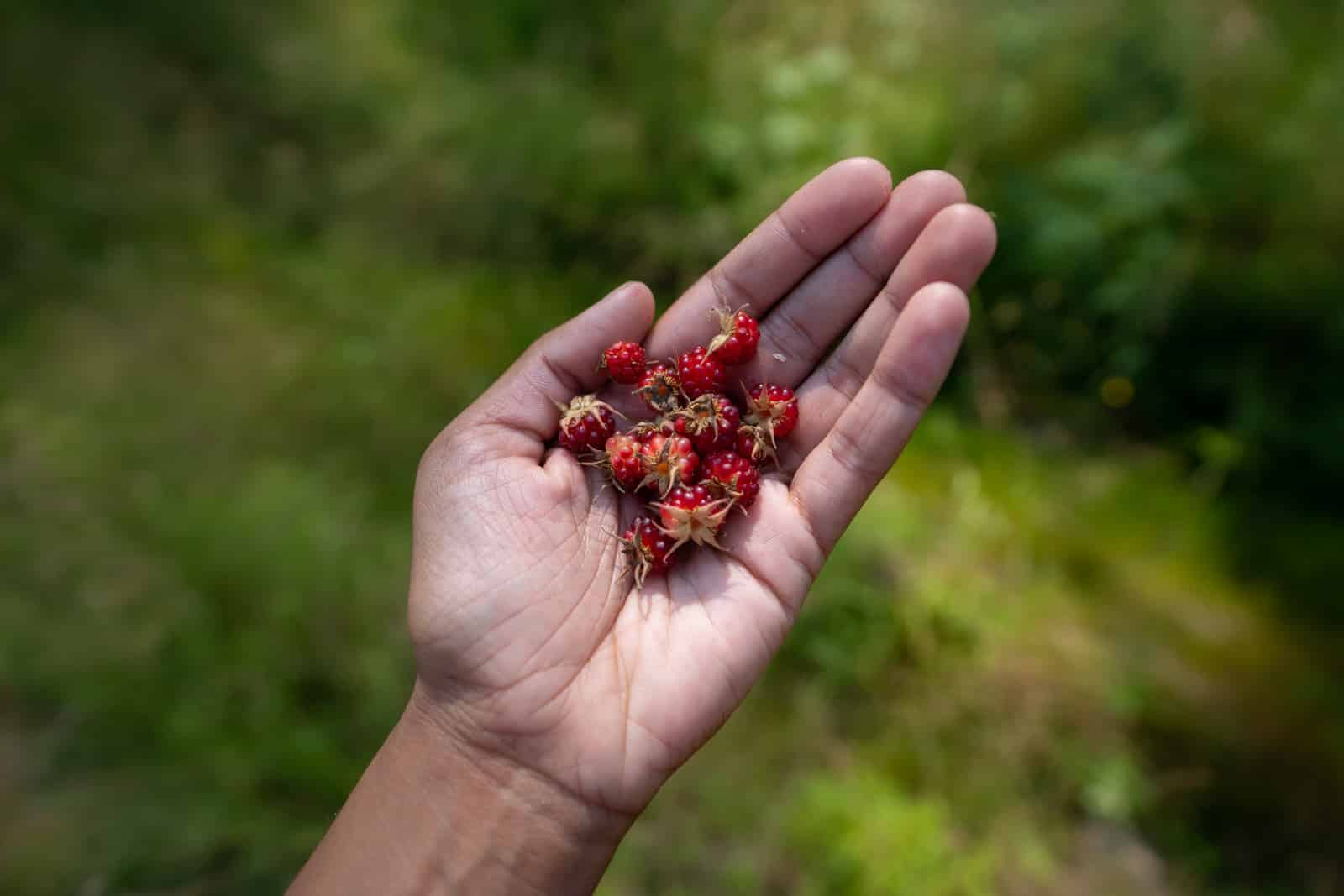 Handful of wild raspberries from a forest in Siberia, Russia