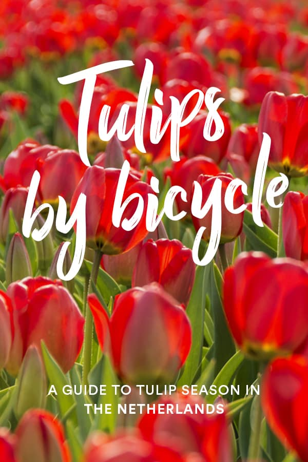 Want to see tulips in the Netherlands independently or on a budget? This guide to tulip season in the Netherlands has all the information you need to visit tulip fields from Amsterdam without having to pay to go into busy Keukenhof. Click through to learn how you can avoid crowds and see tulips this spring! #Tulips #Amsterdam #Netherlands