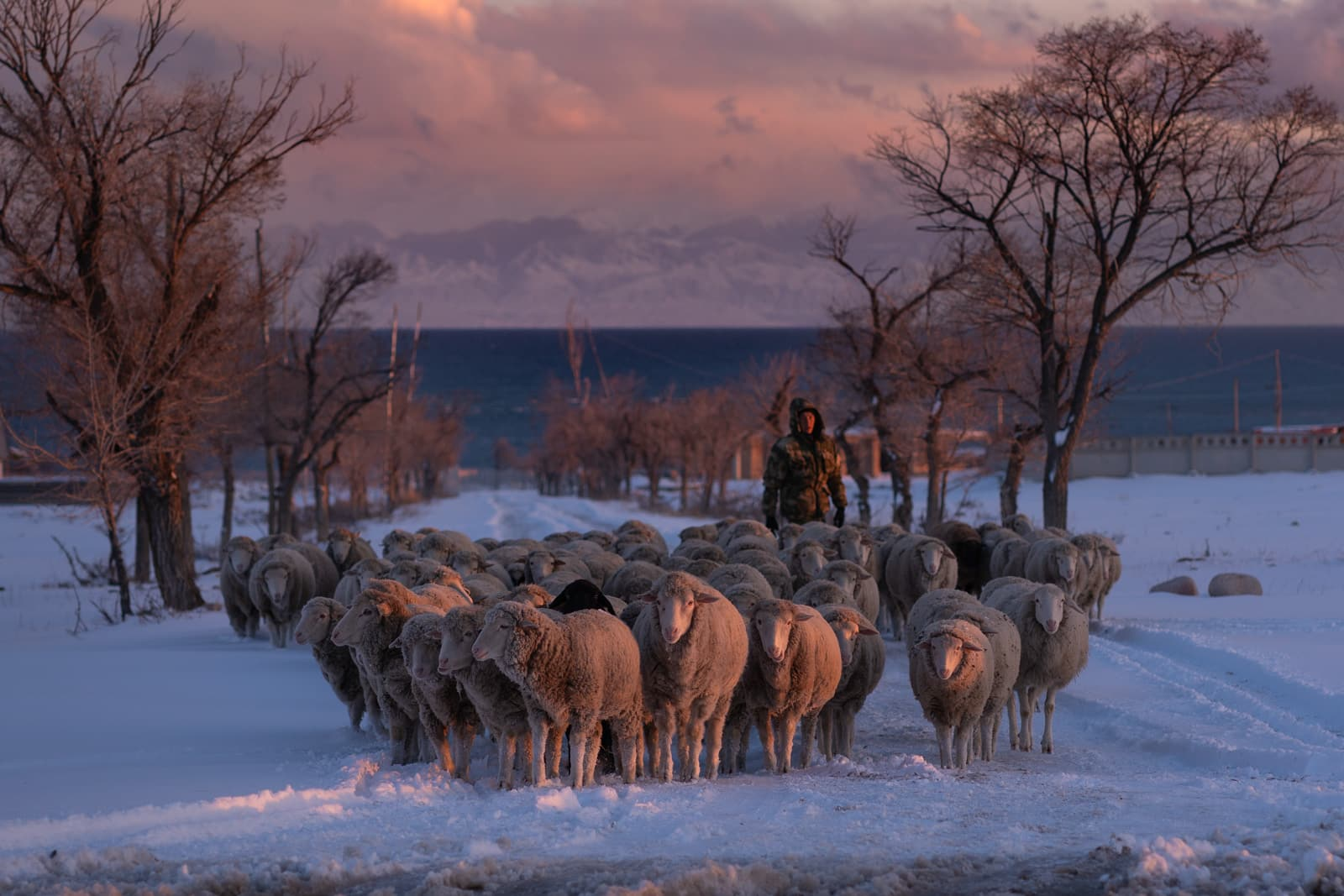 Man herding sheep at sunset in Kyrgyzstan