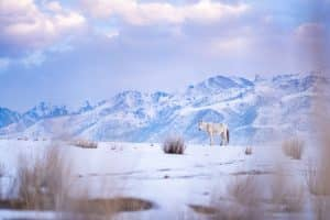 Horse walking in Jaichy, Kyrgyzstan in winter