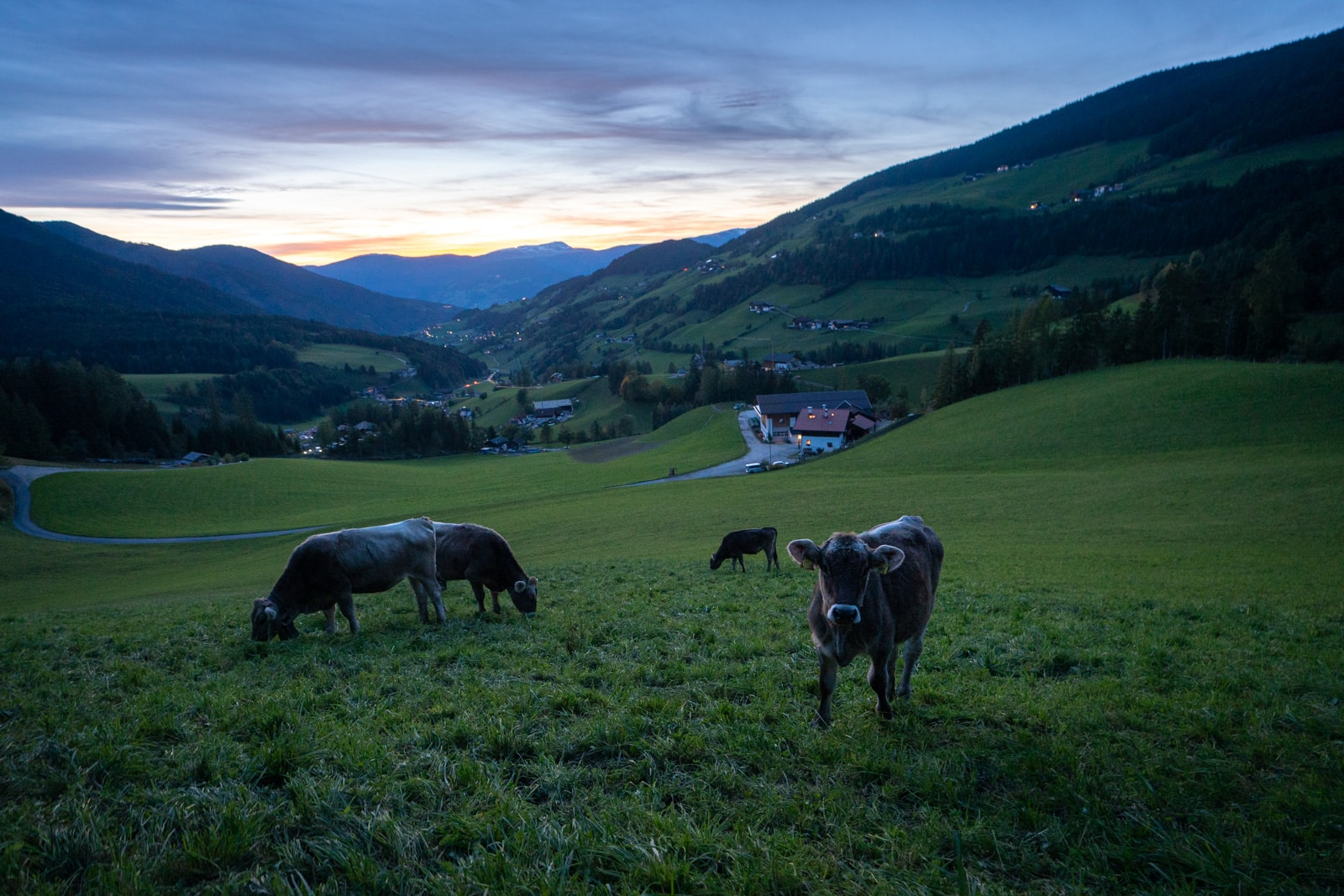Free range cows grazing in the South Tyrol region of Italy