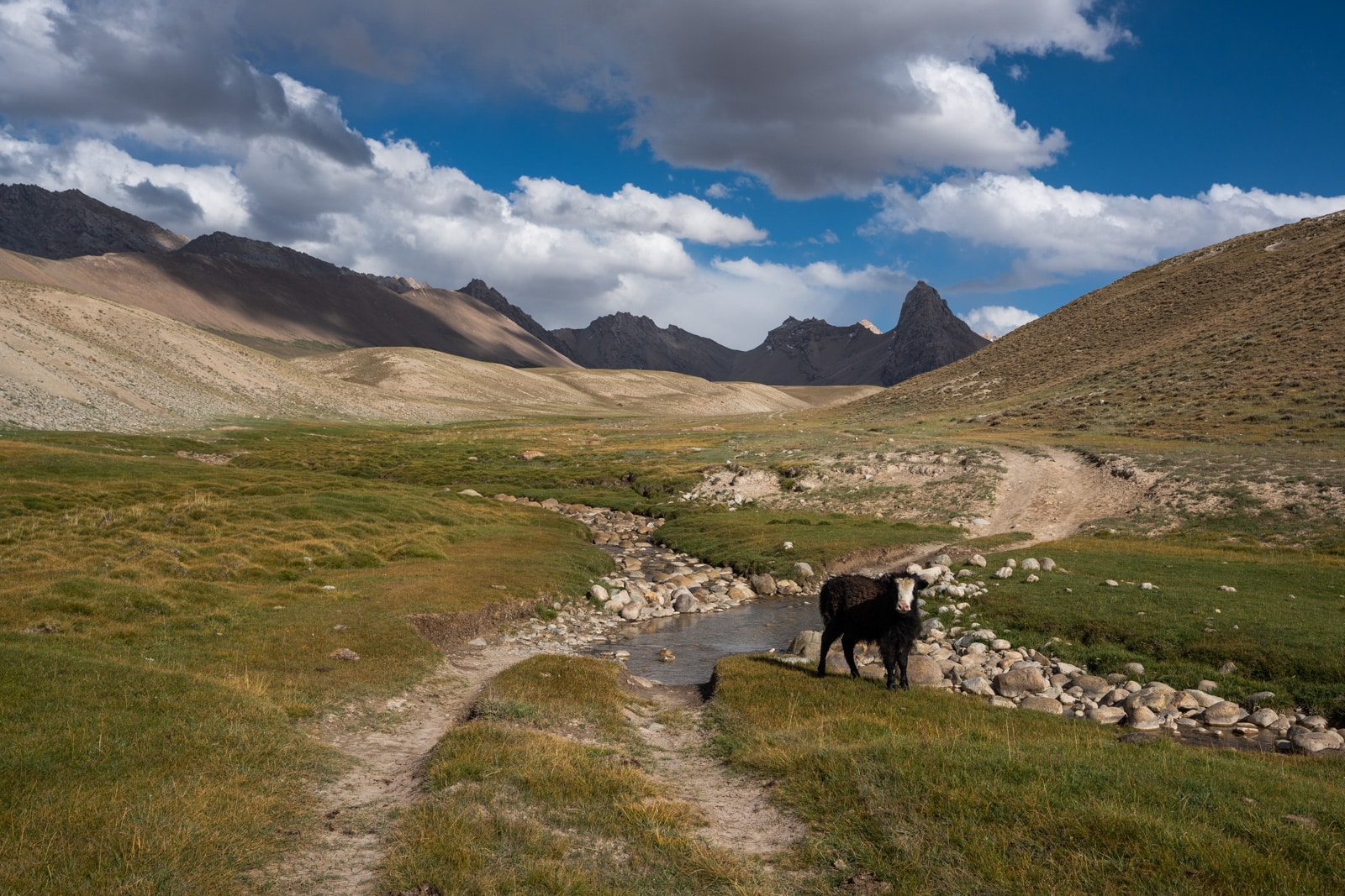 Baby yak in the Pamir Mountains of Eastern Tajikistan