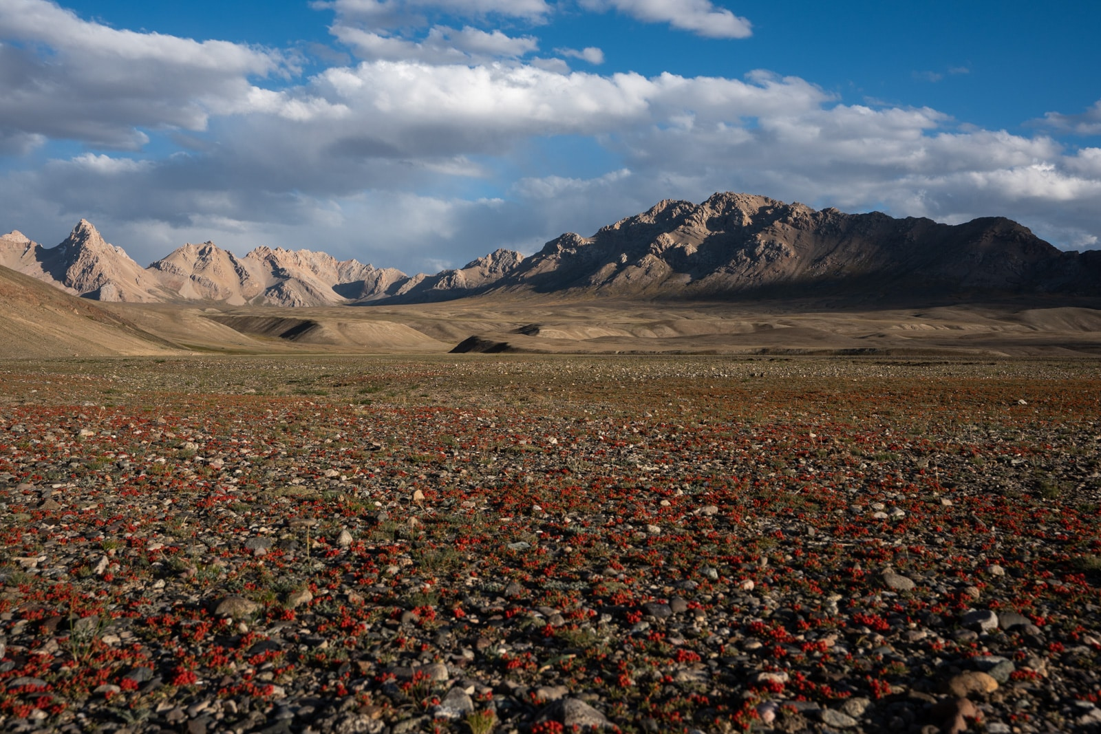Chekende berries in the Pamir Mountains of Tajikistan