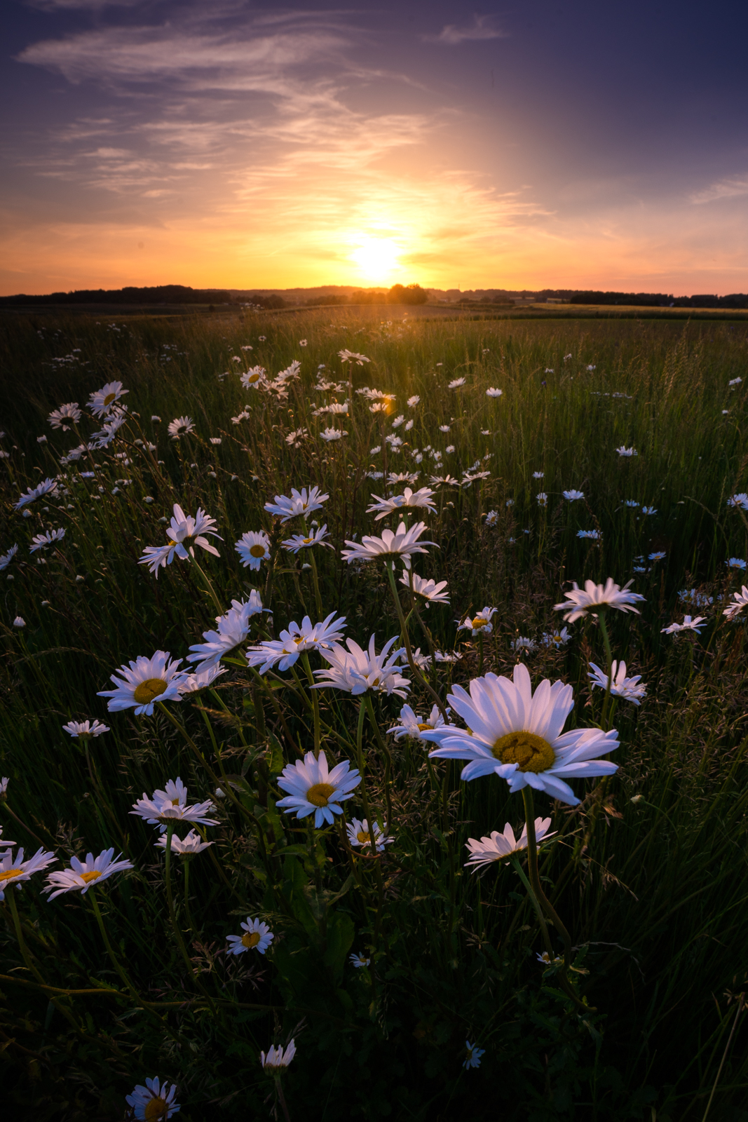 Wildflowers in the fields around Leefdaal, Belgium (Flemish Brabant province) at sunset